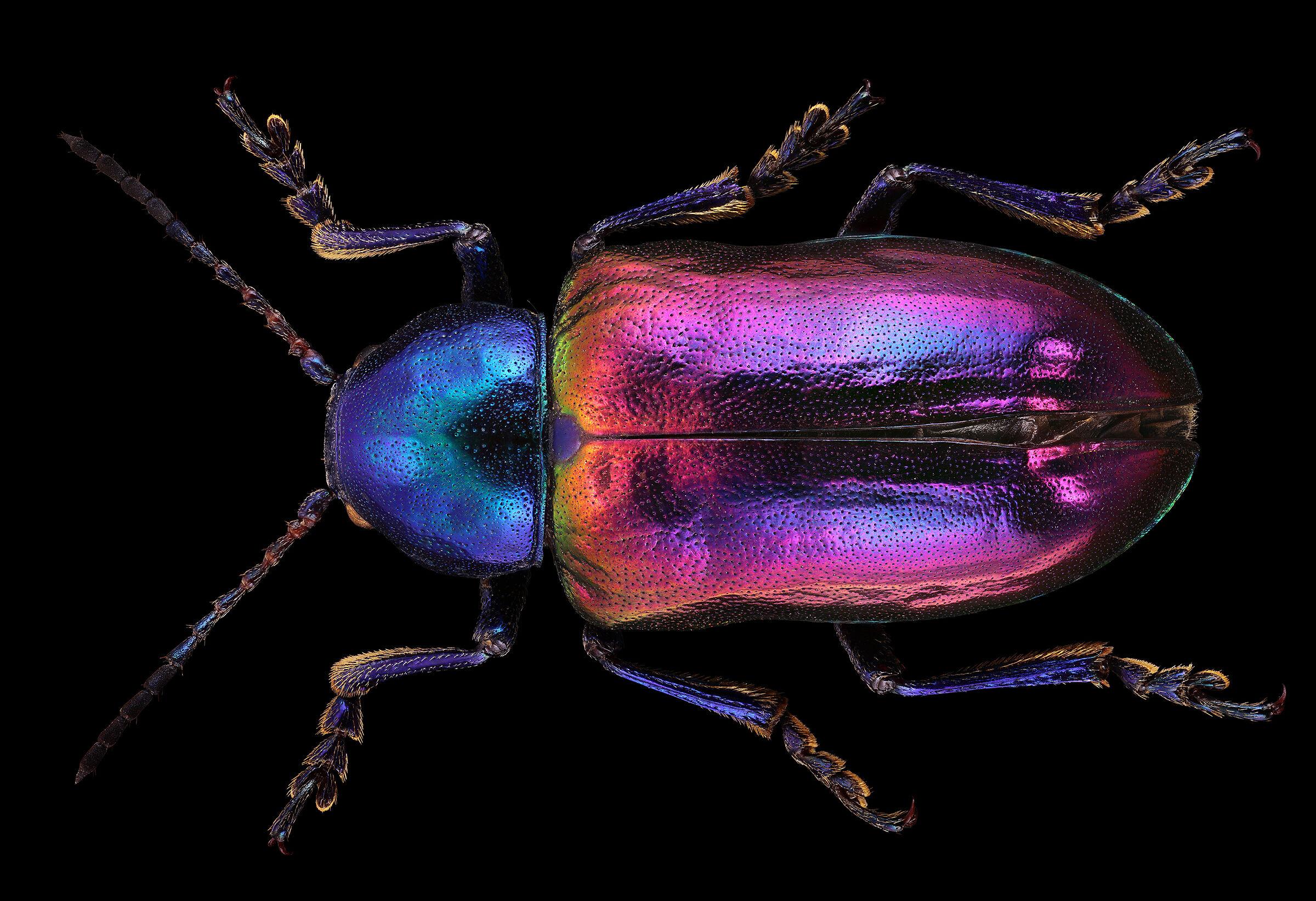 Chrysomelidae, London...