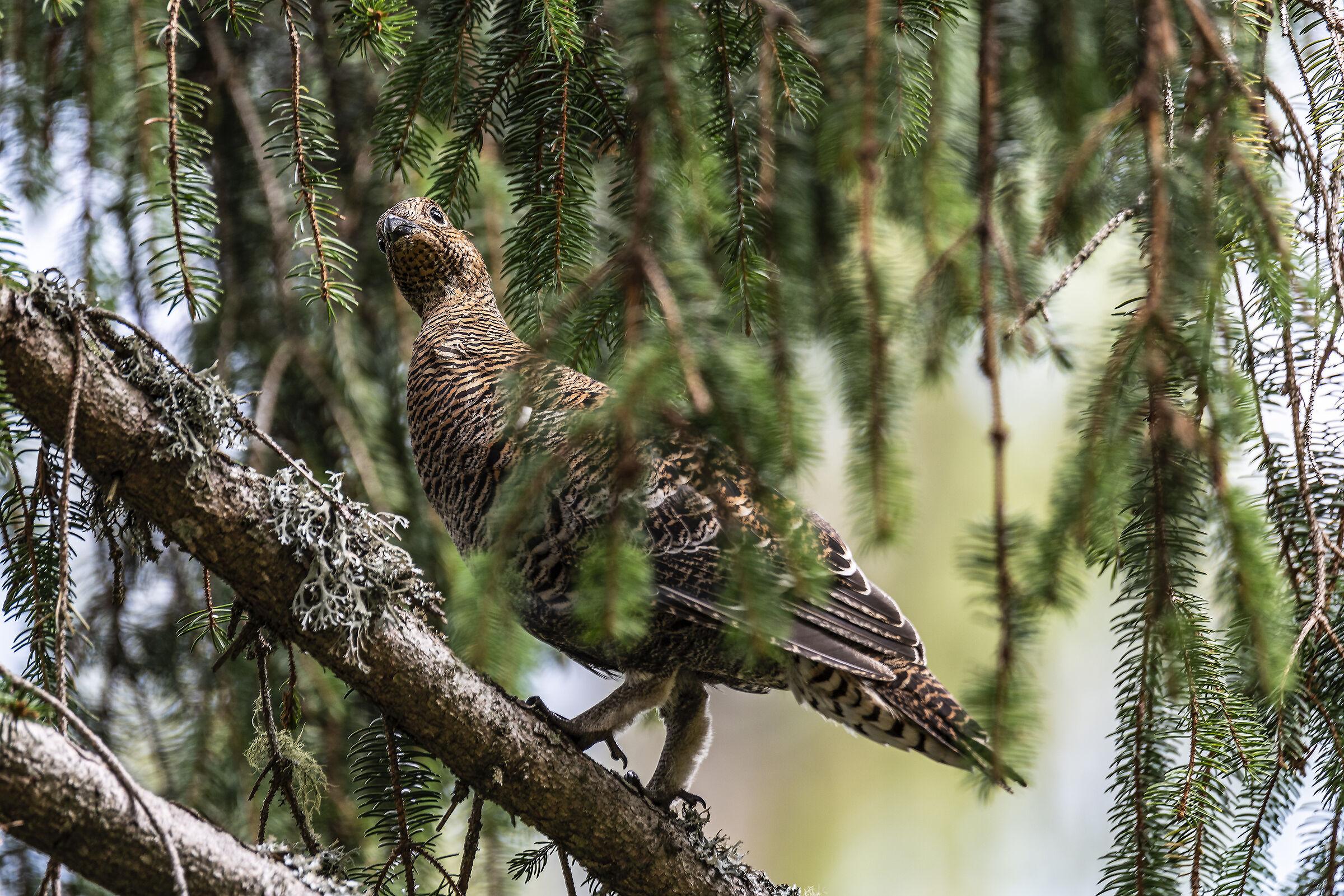 Female grouse...