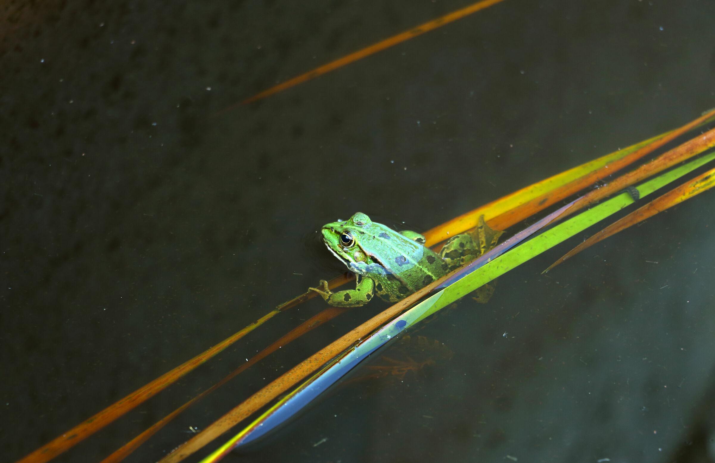 Funeral frog...