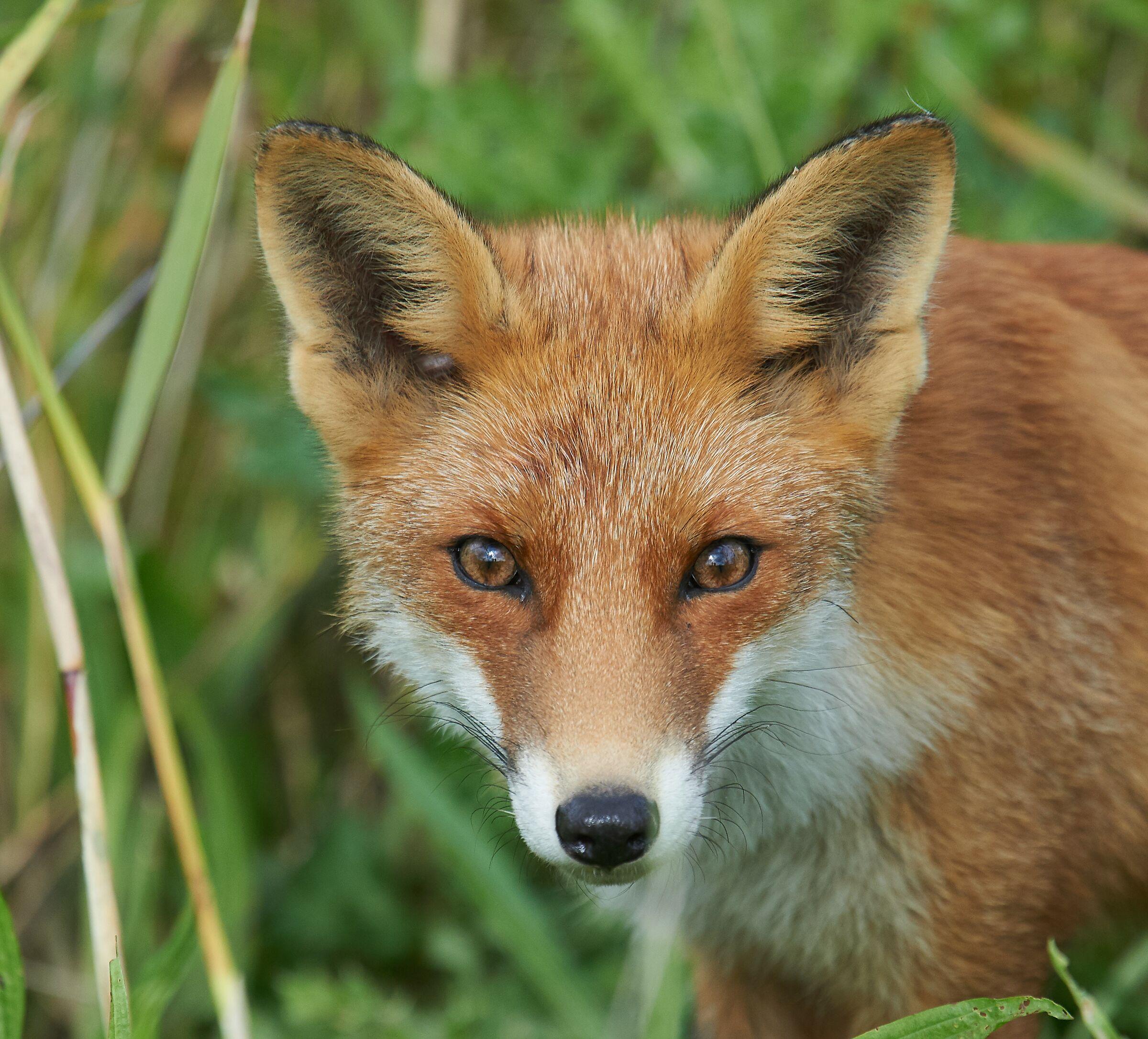 Encounter with a fox...
