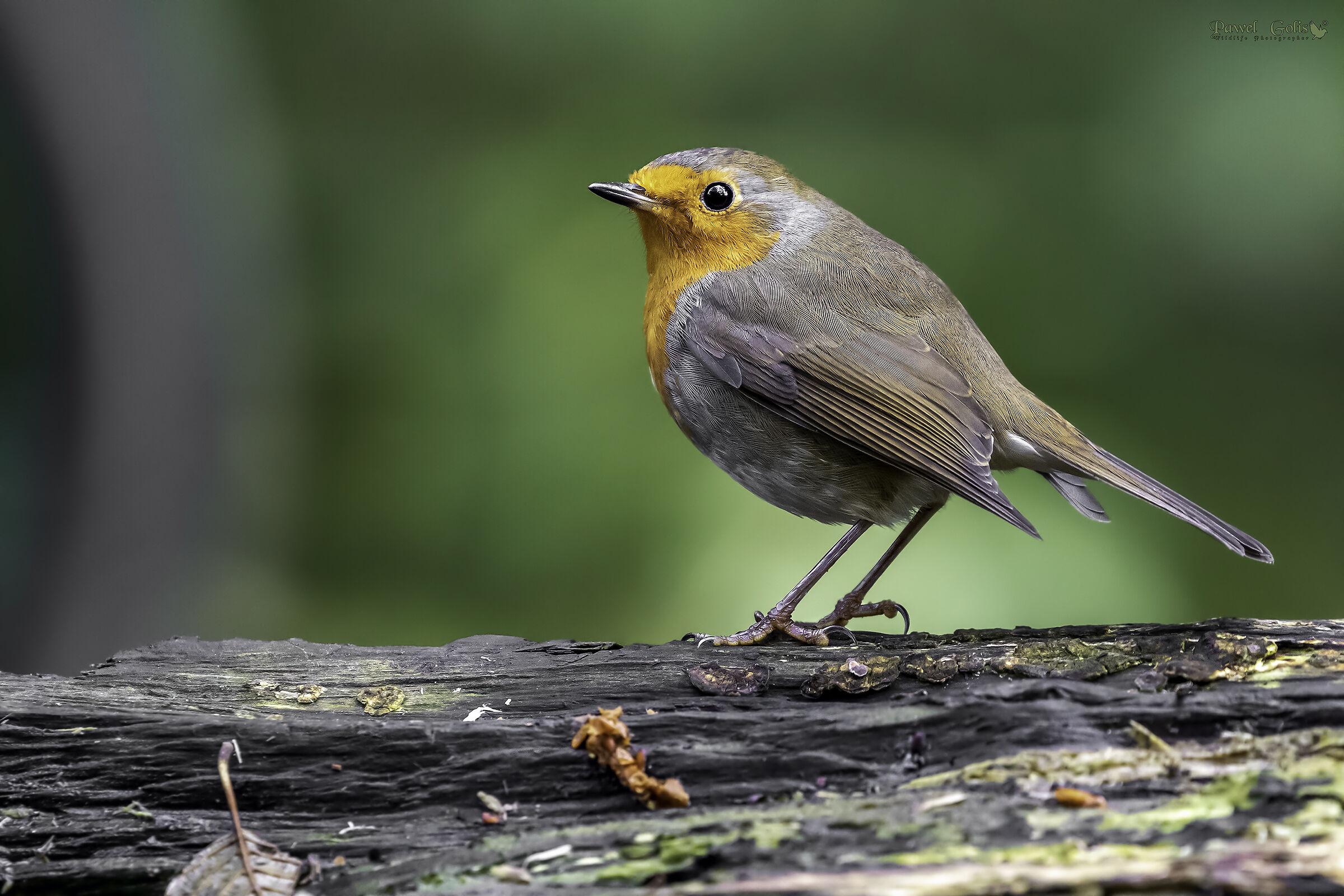 European robin (Erithacus rubecula)...