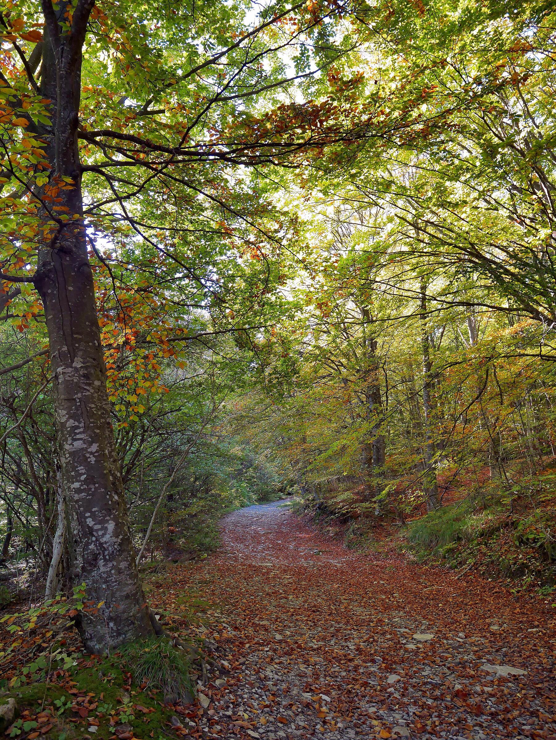 Bosco di faggi ai primi colori d'autunno...