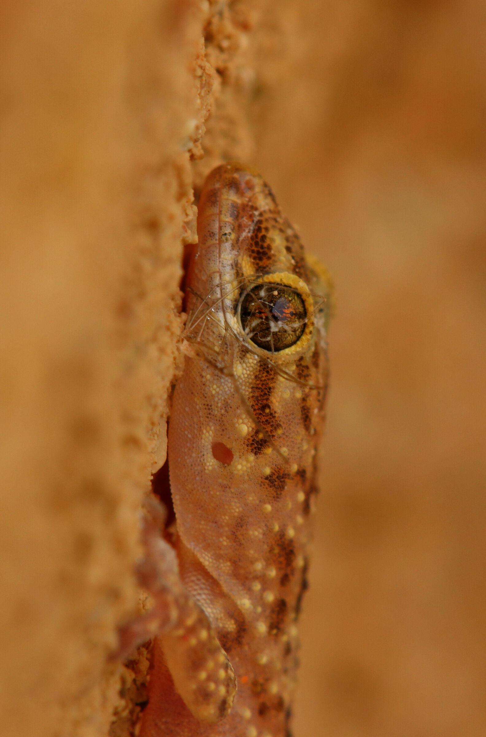Hemidactylus turcicus...