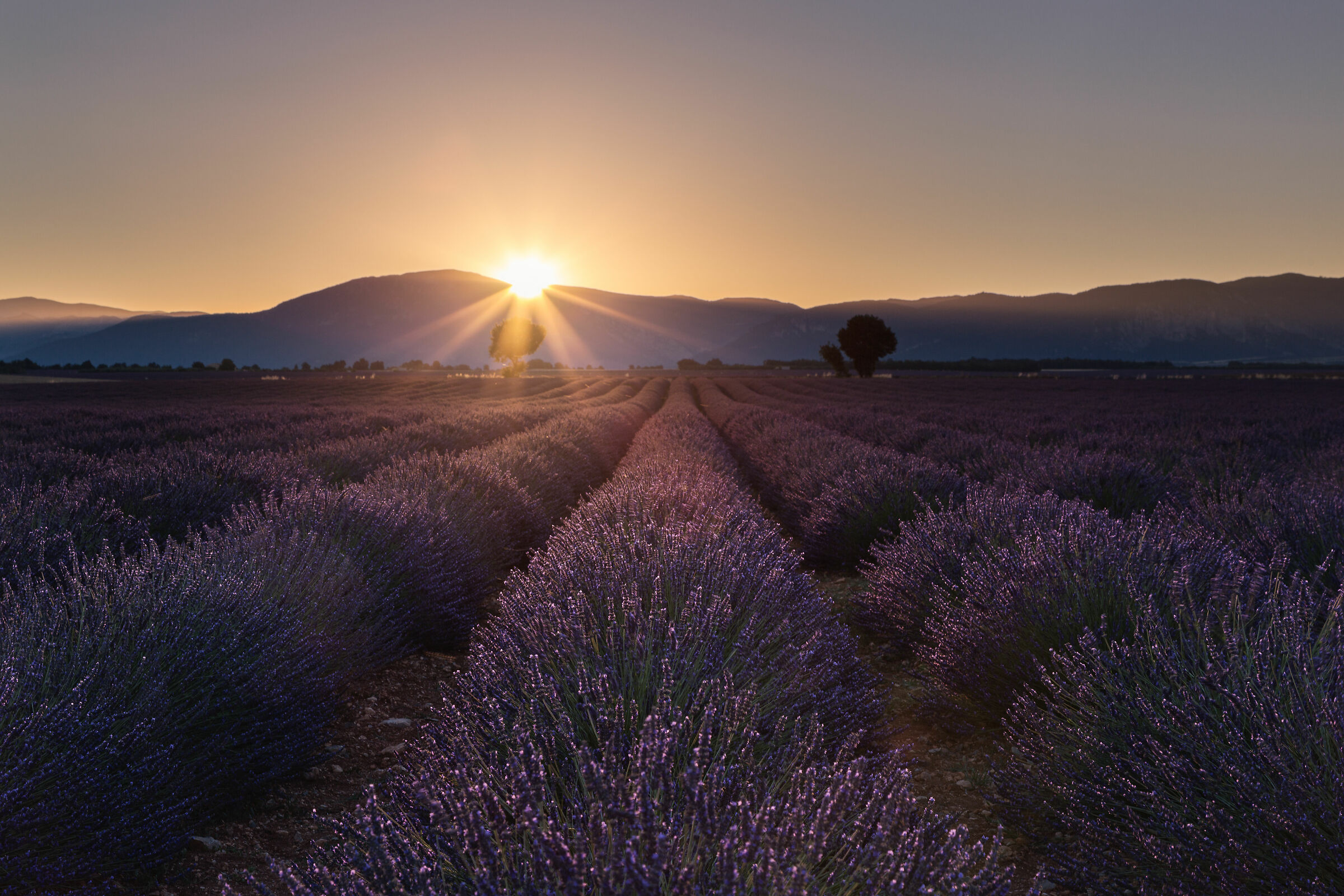 Sunrise on lavender ...