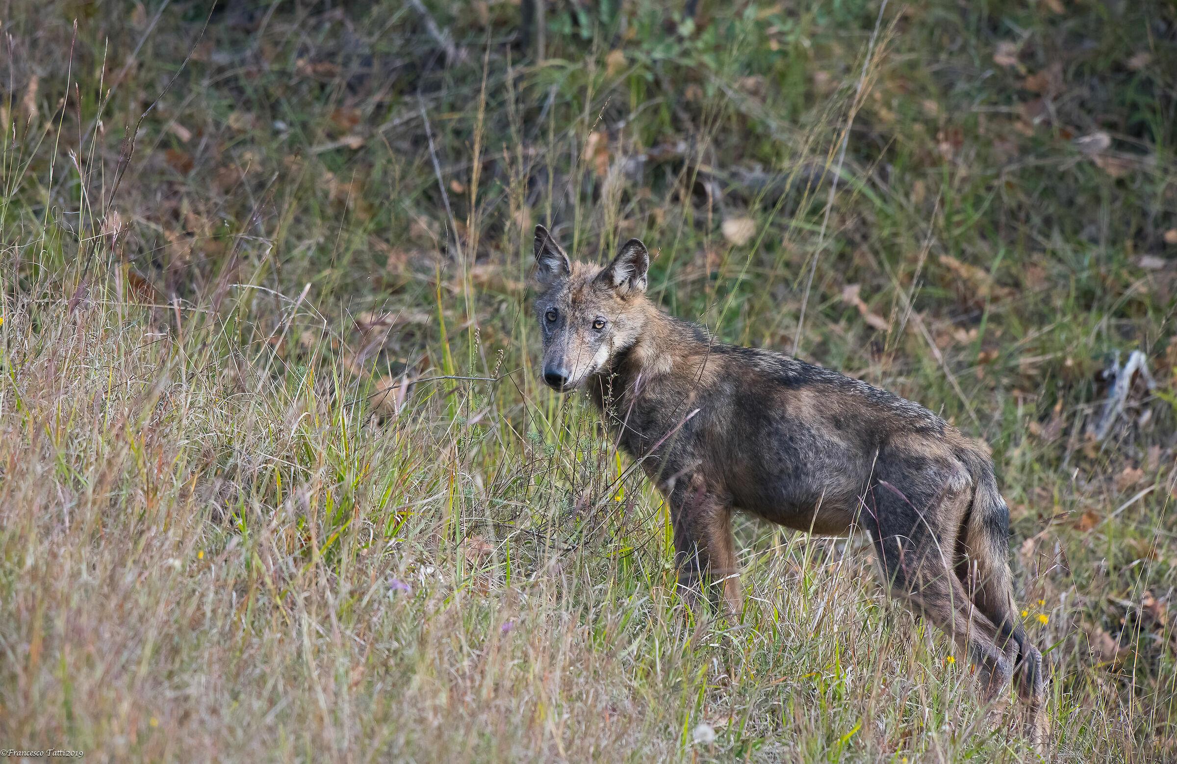 Apennine Wolf ...