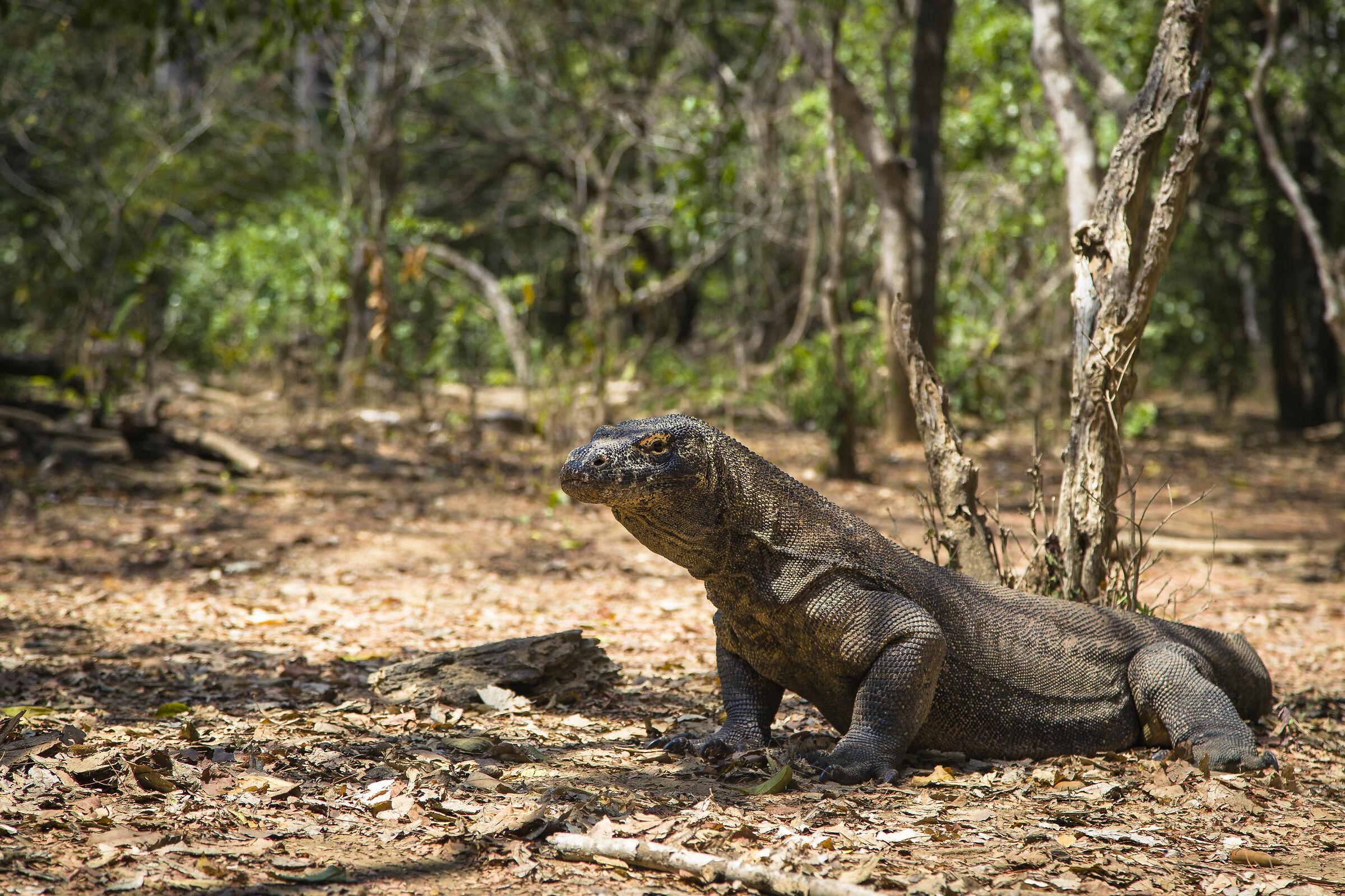 Komodo Dragon 2...
