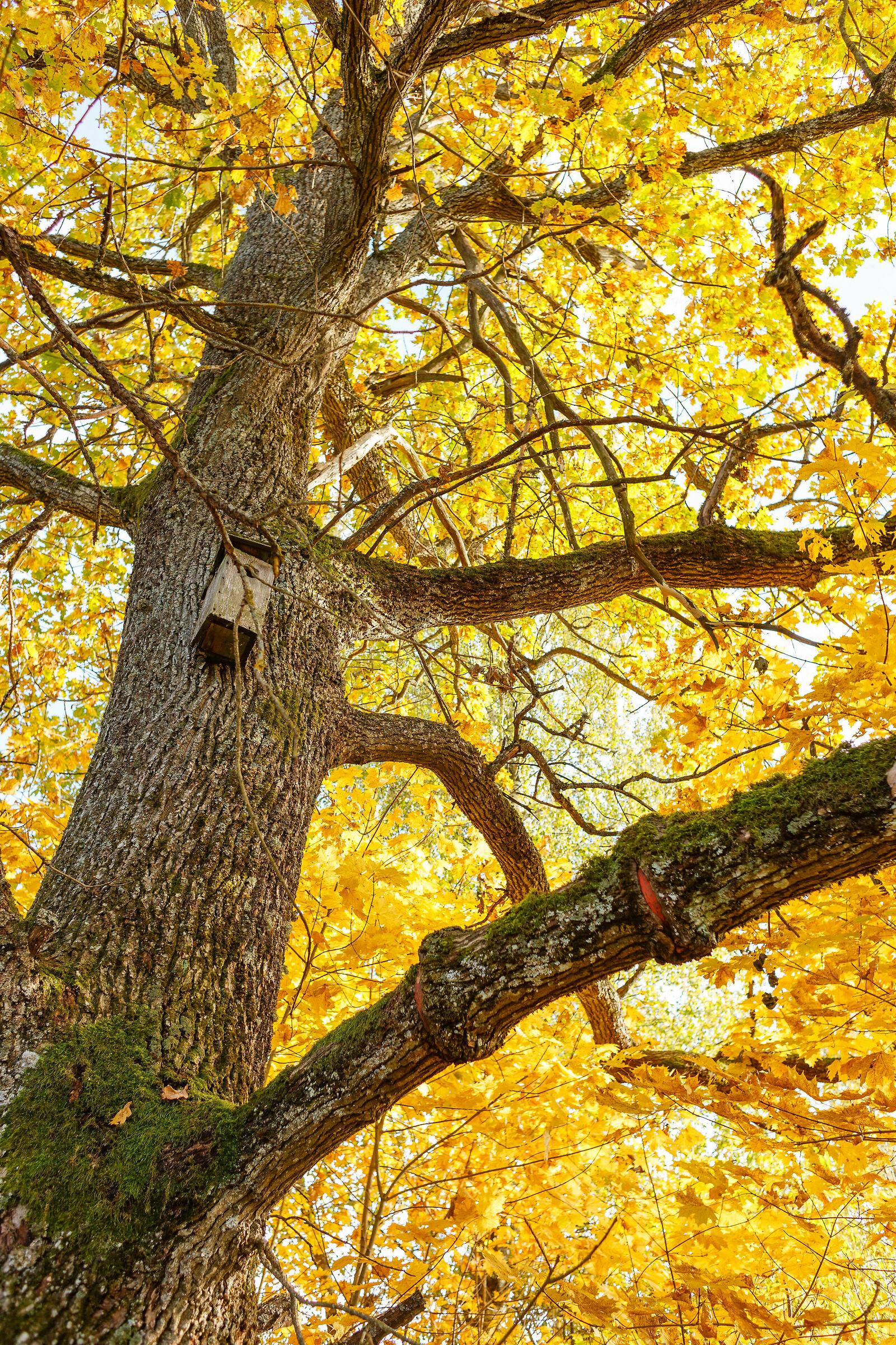 Autumn Oak...