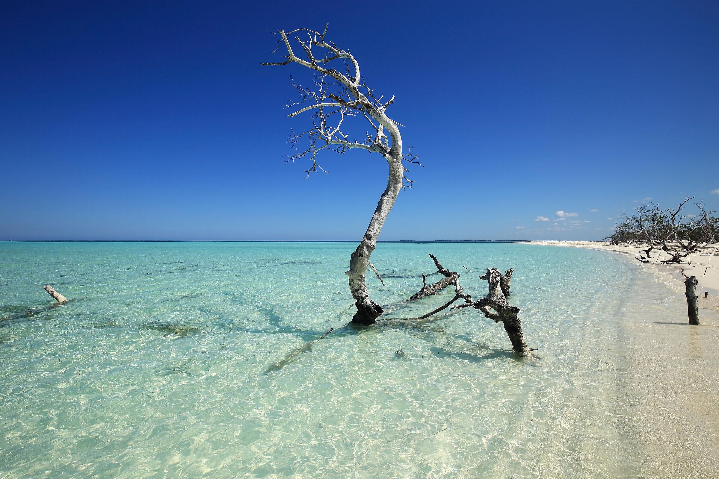 Solitary dried mangrove...
