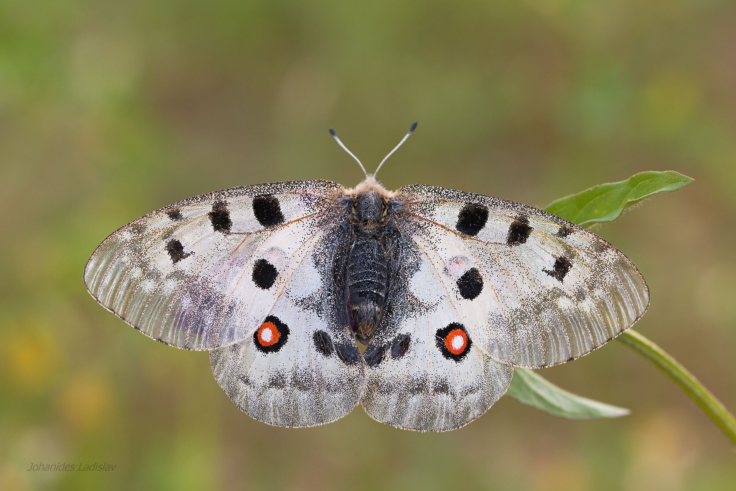 Parnassius apollo(female)...