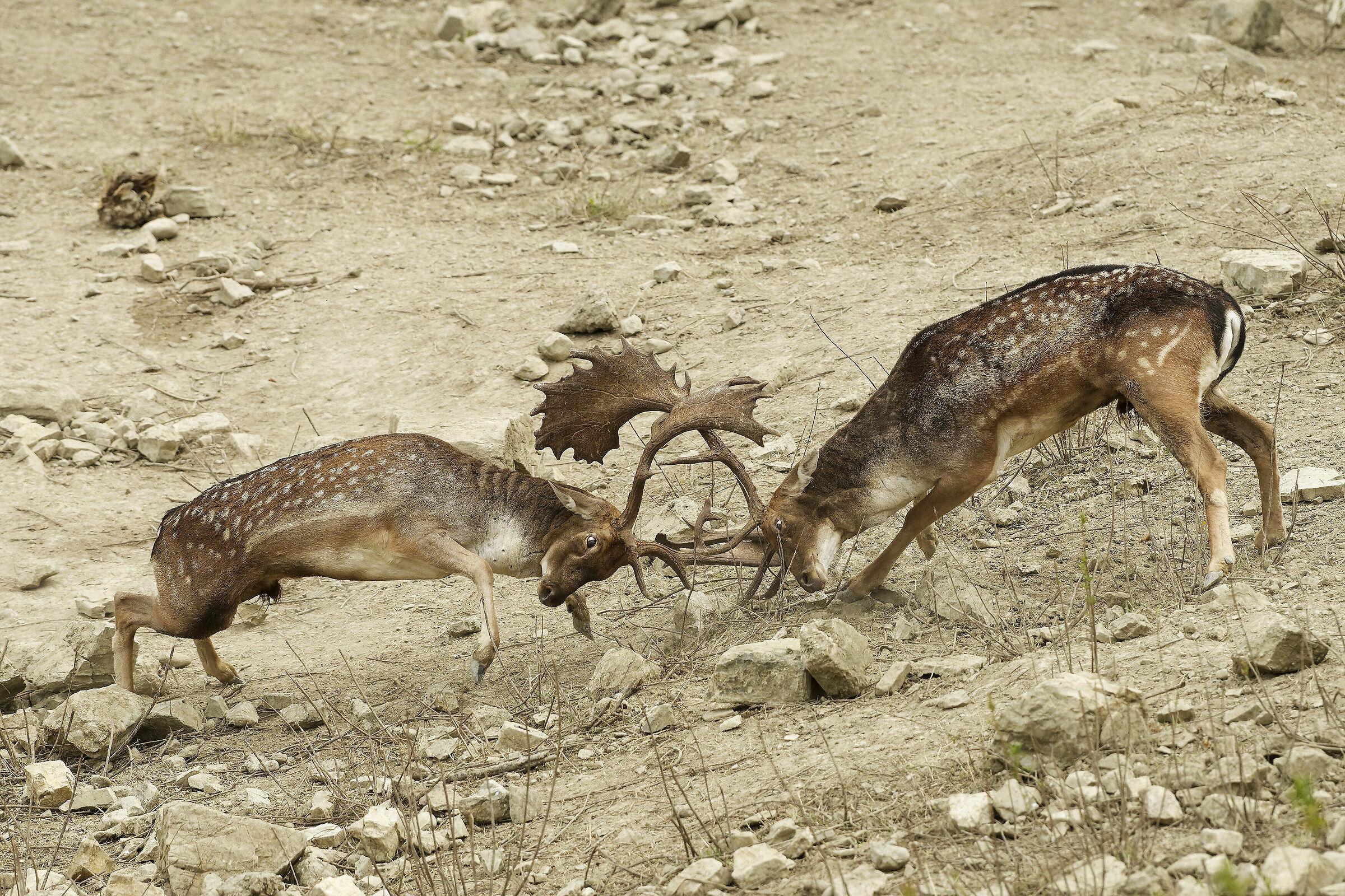 the deer's fury...