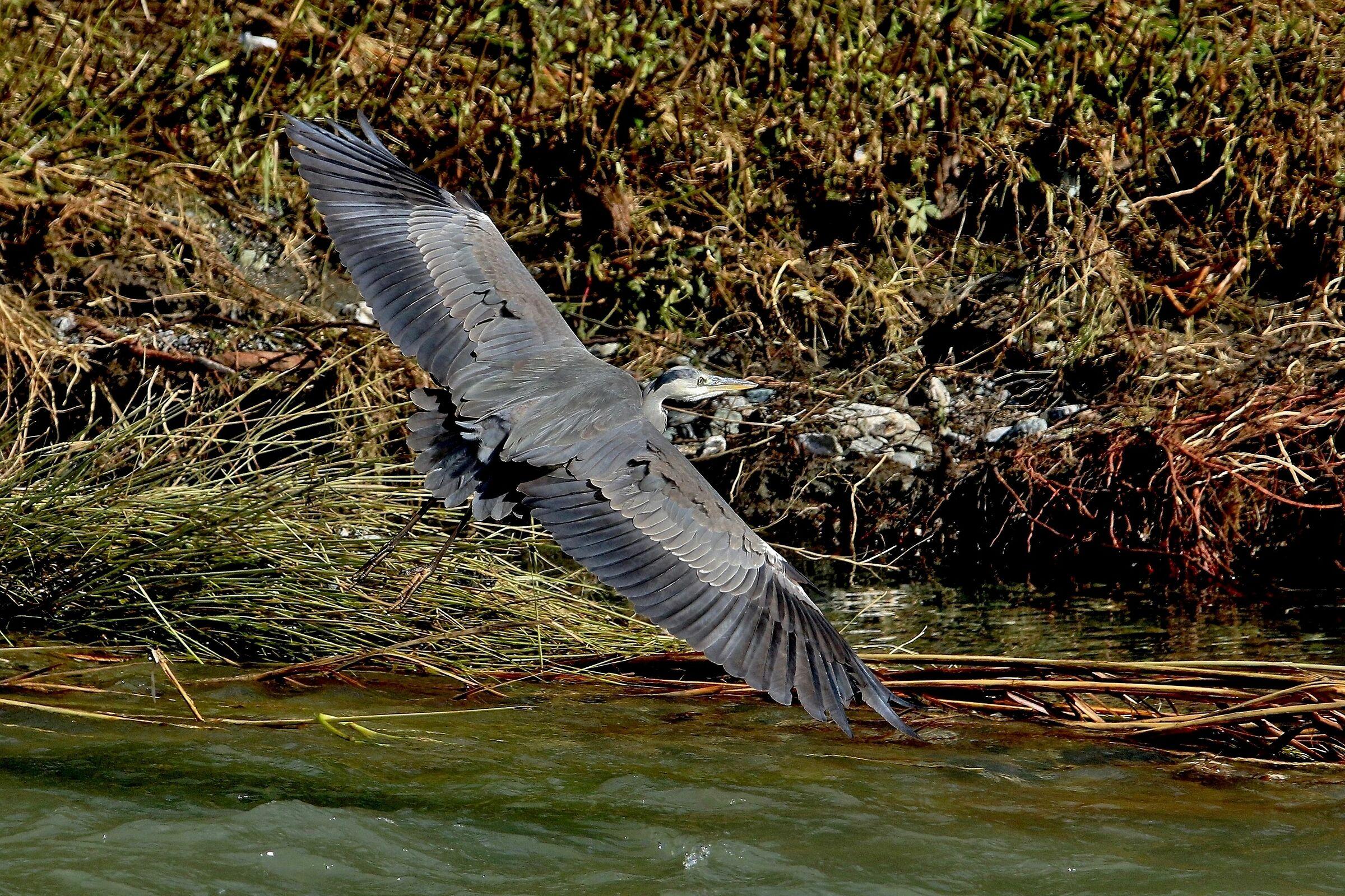 The Heron's Turn...