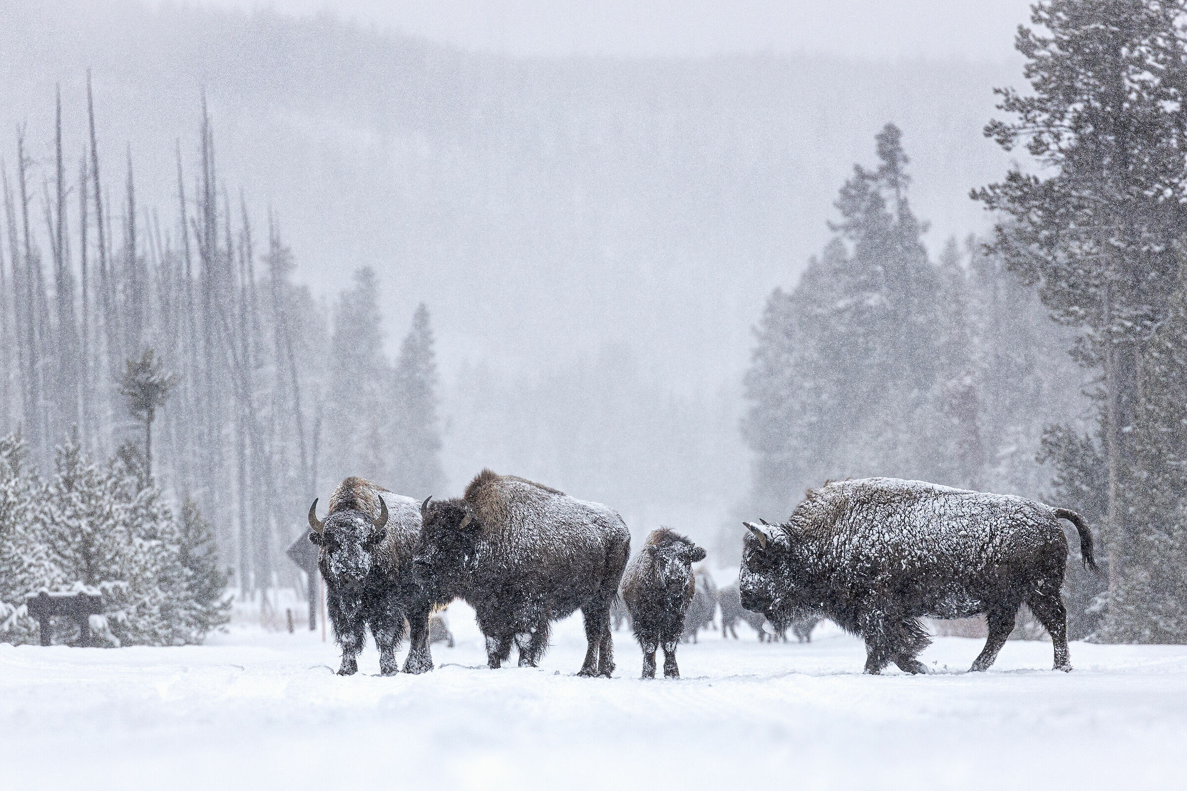 Bison' crossing in snow storm...