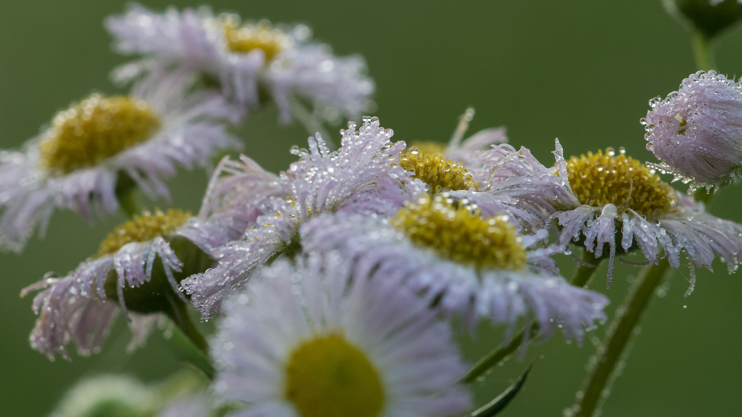 confusion of daisies...