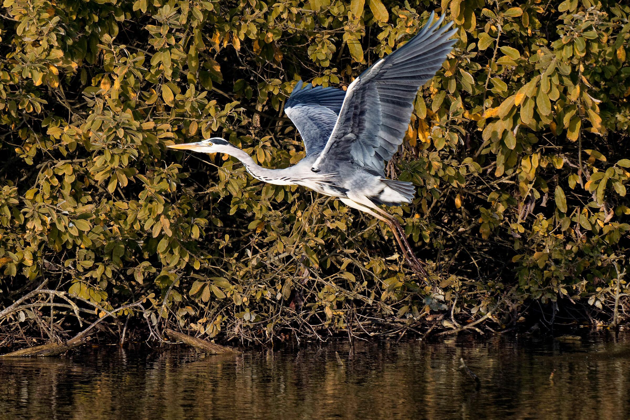Cinerino heron to the rota bogs #2...
