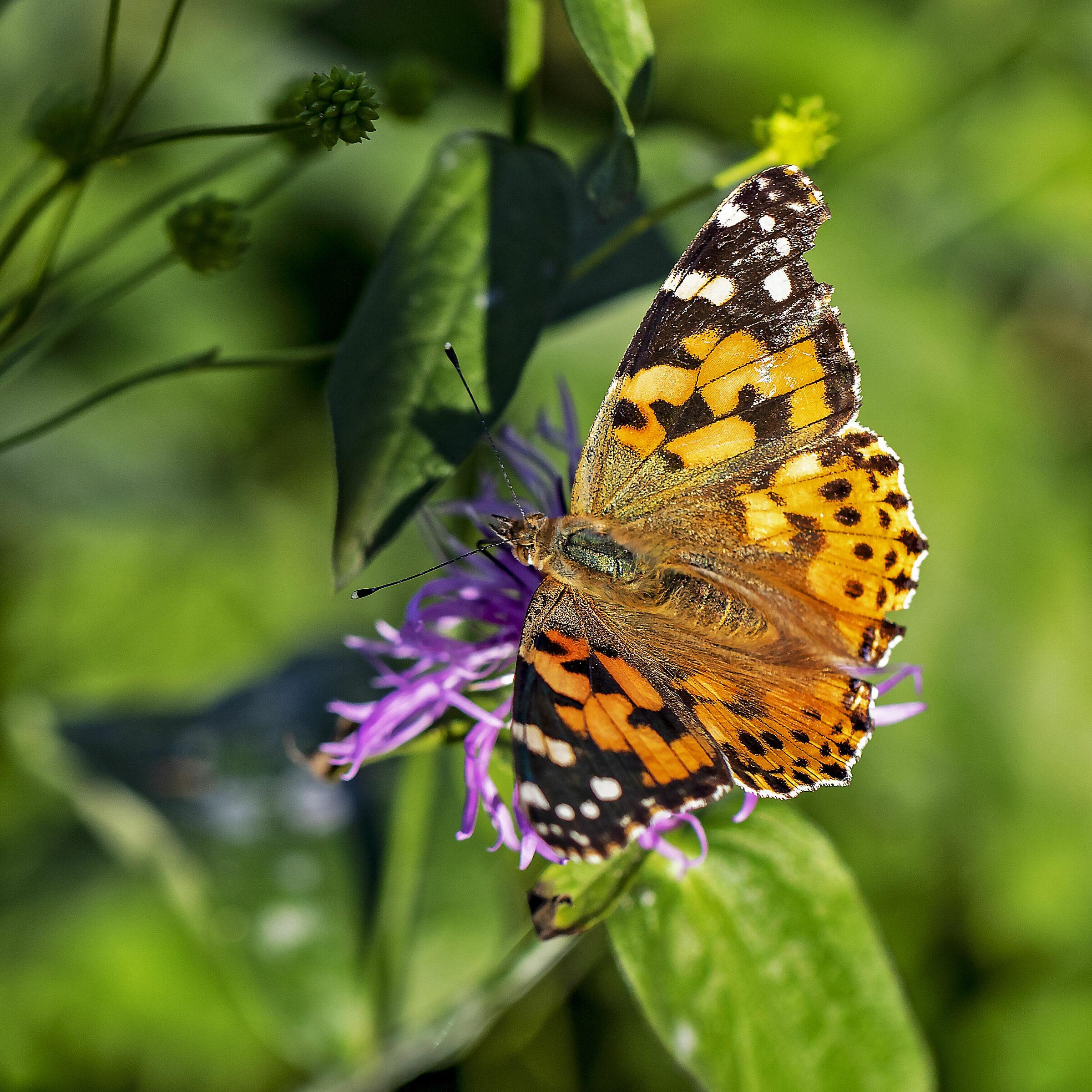 Autumn Butterfly...