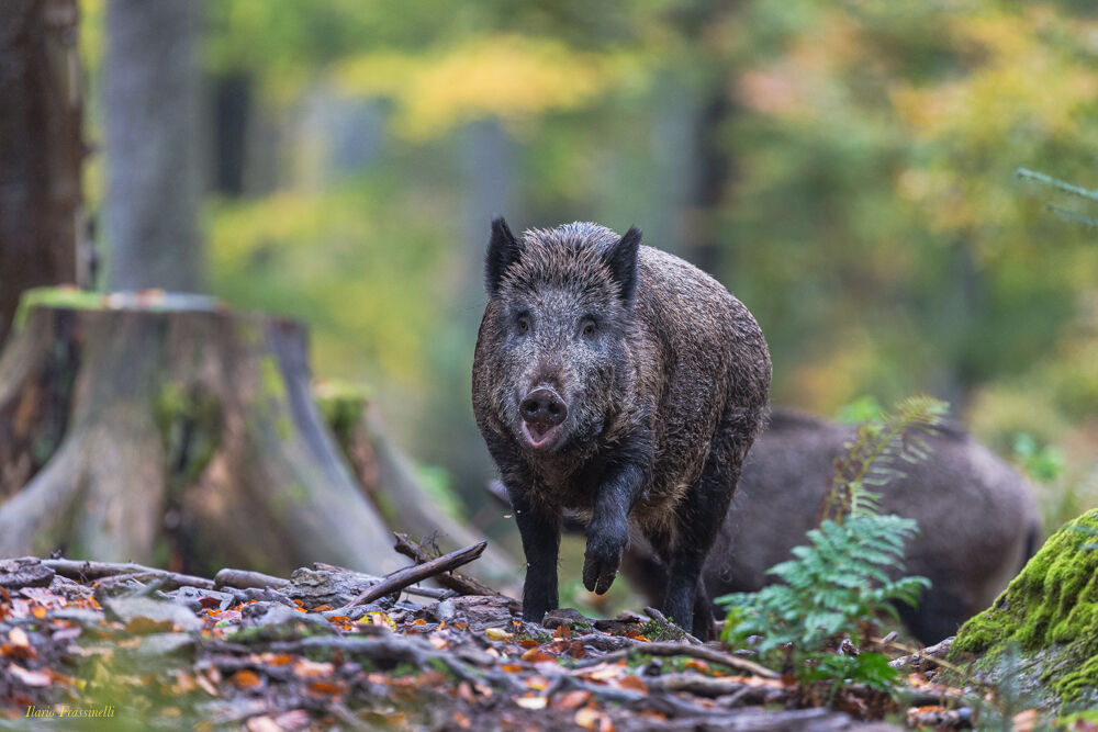 Impact risk with wild boar...