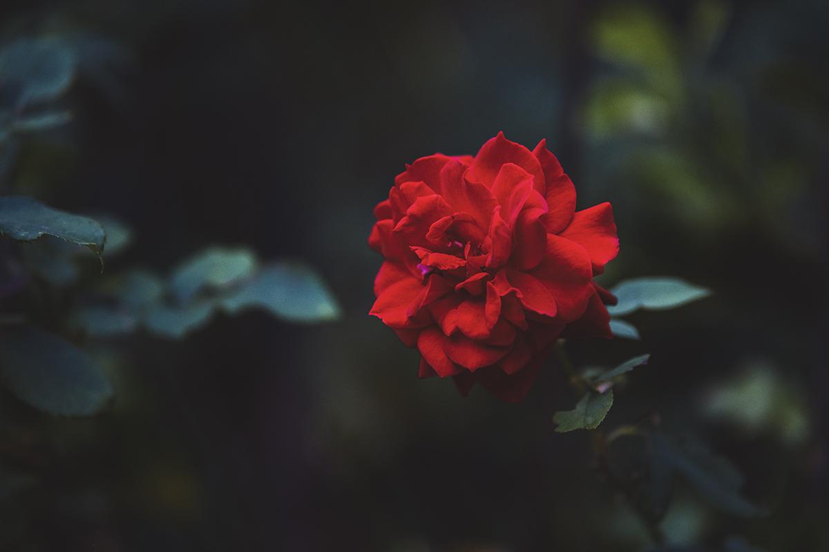 Rosa - Viltrox...
