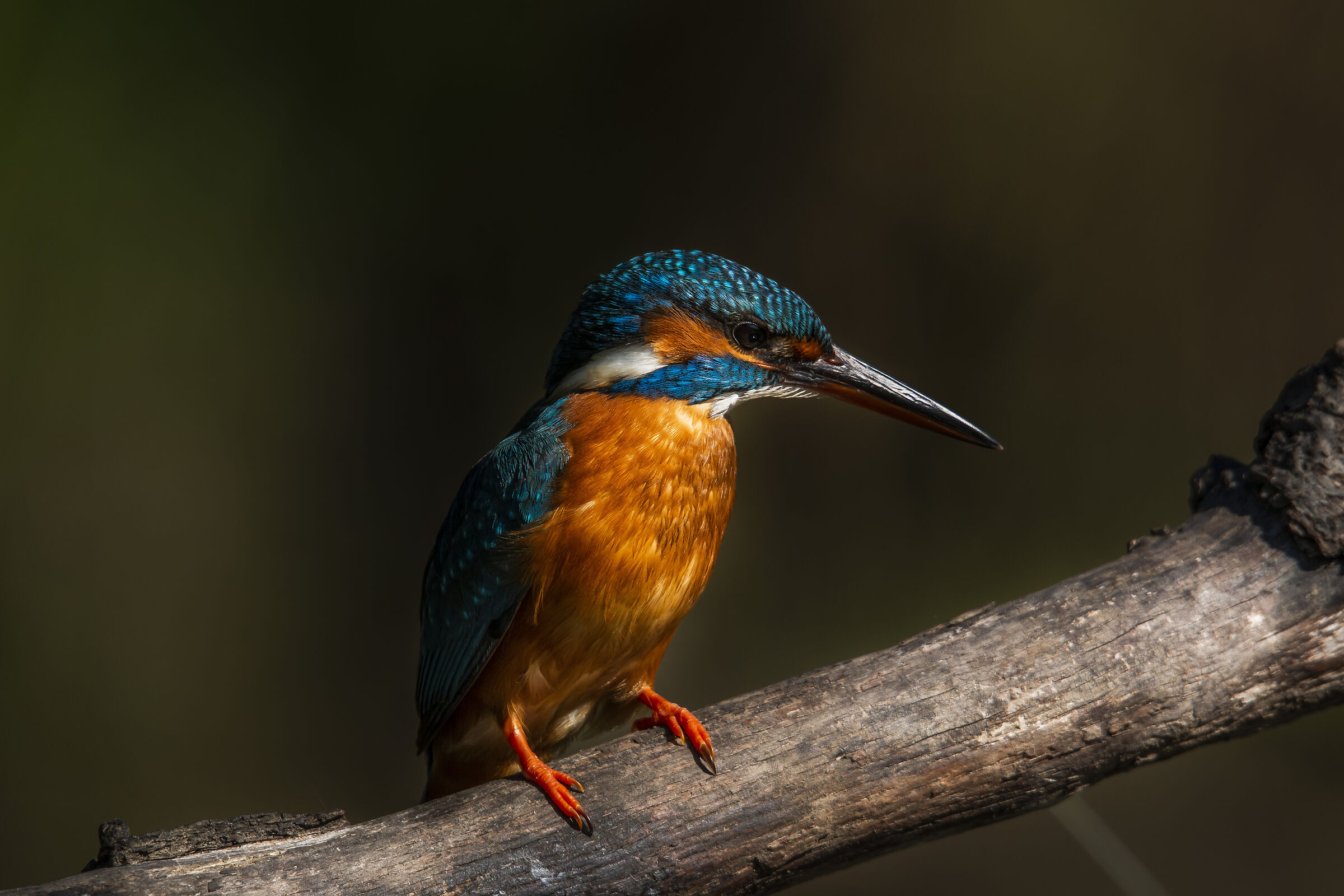 The king fisher...