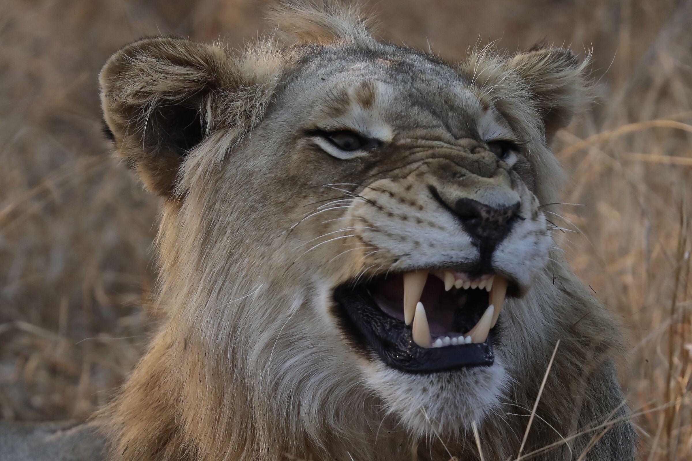 lion kruger...