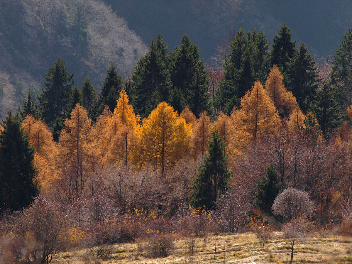 The Gold of the Woods...