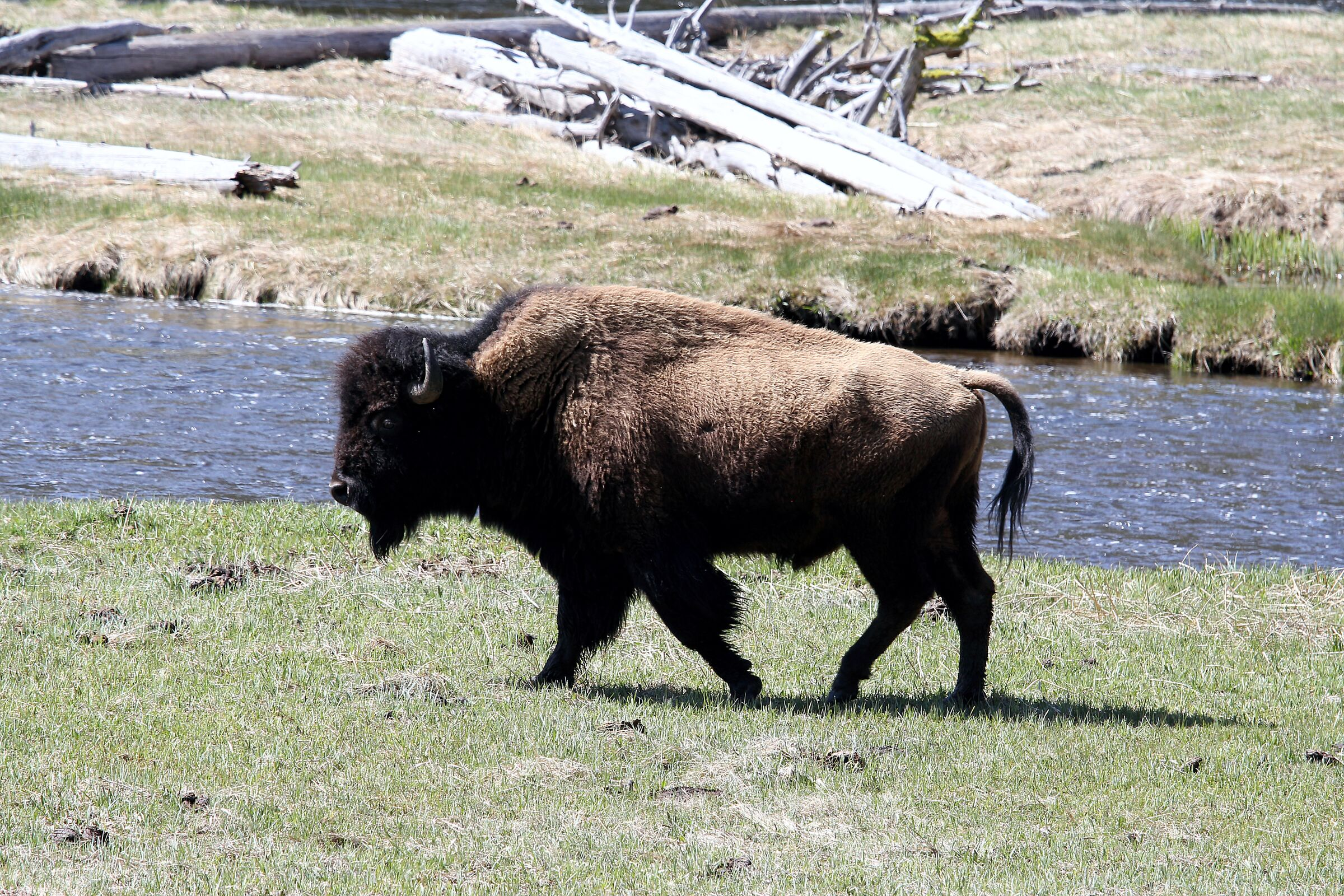 Bison, parco di Yellowstone...