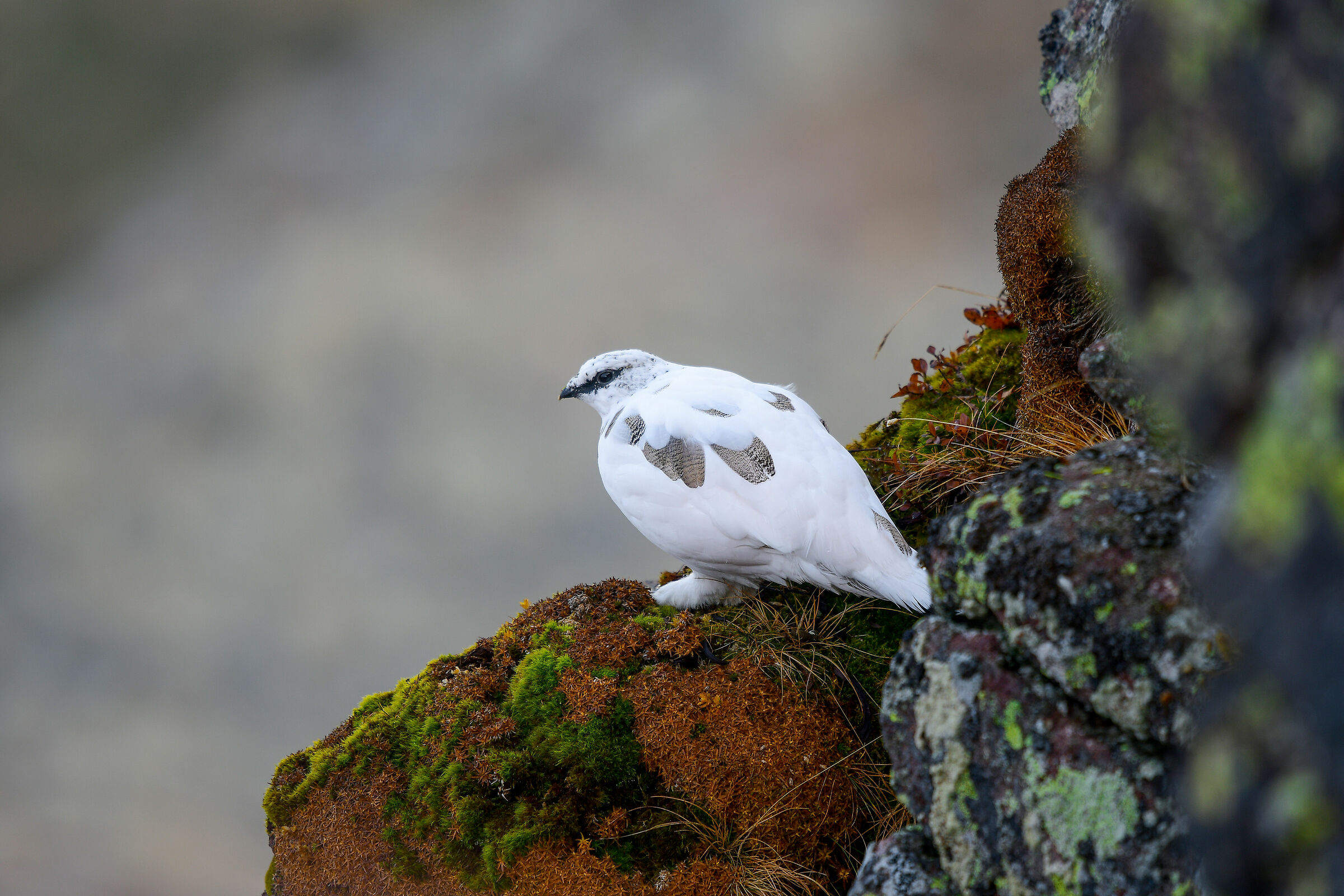 white partridge white male ...