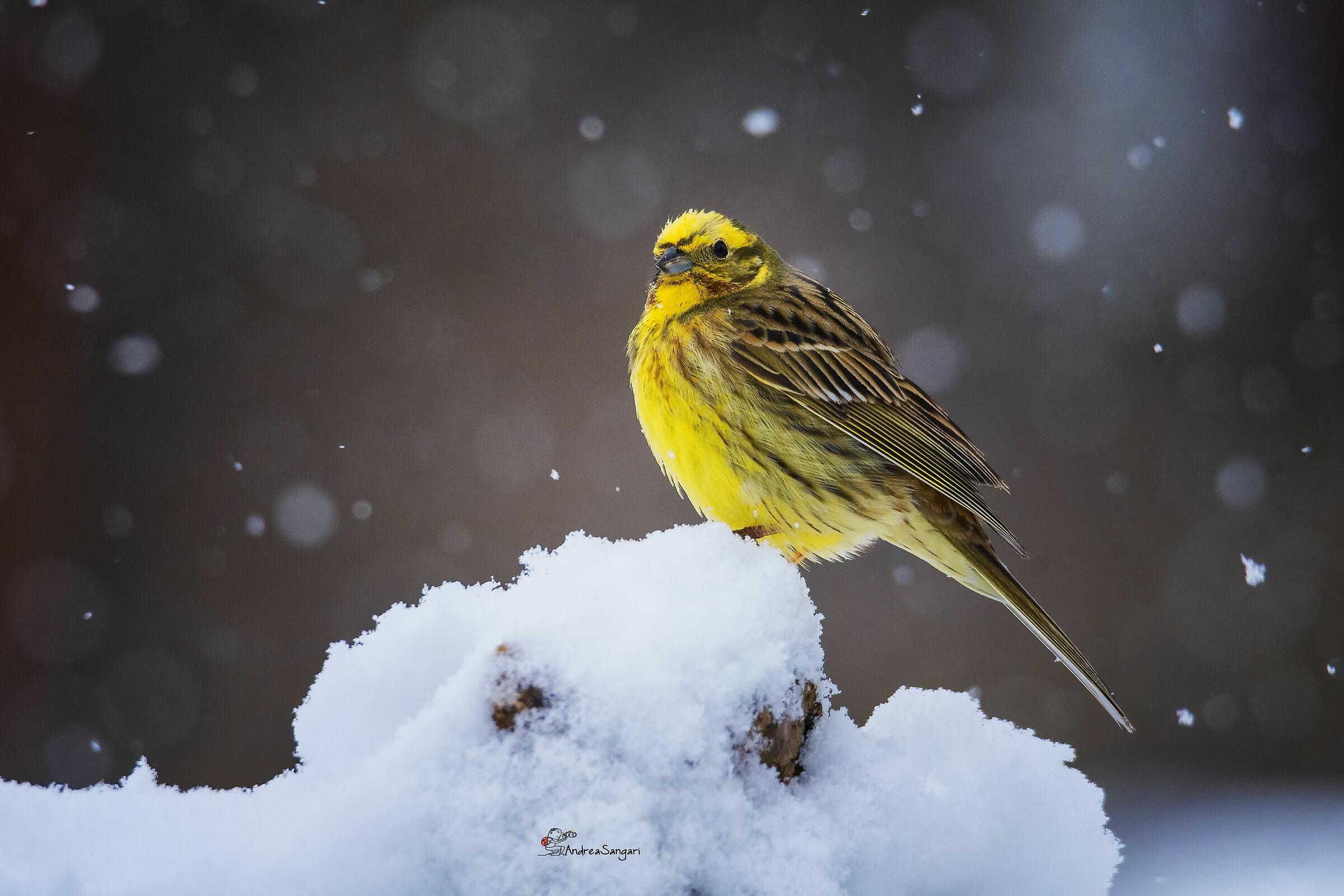 The snow brings..... a beautiful yellow cheekbone...