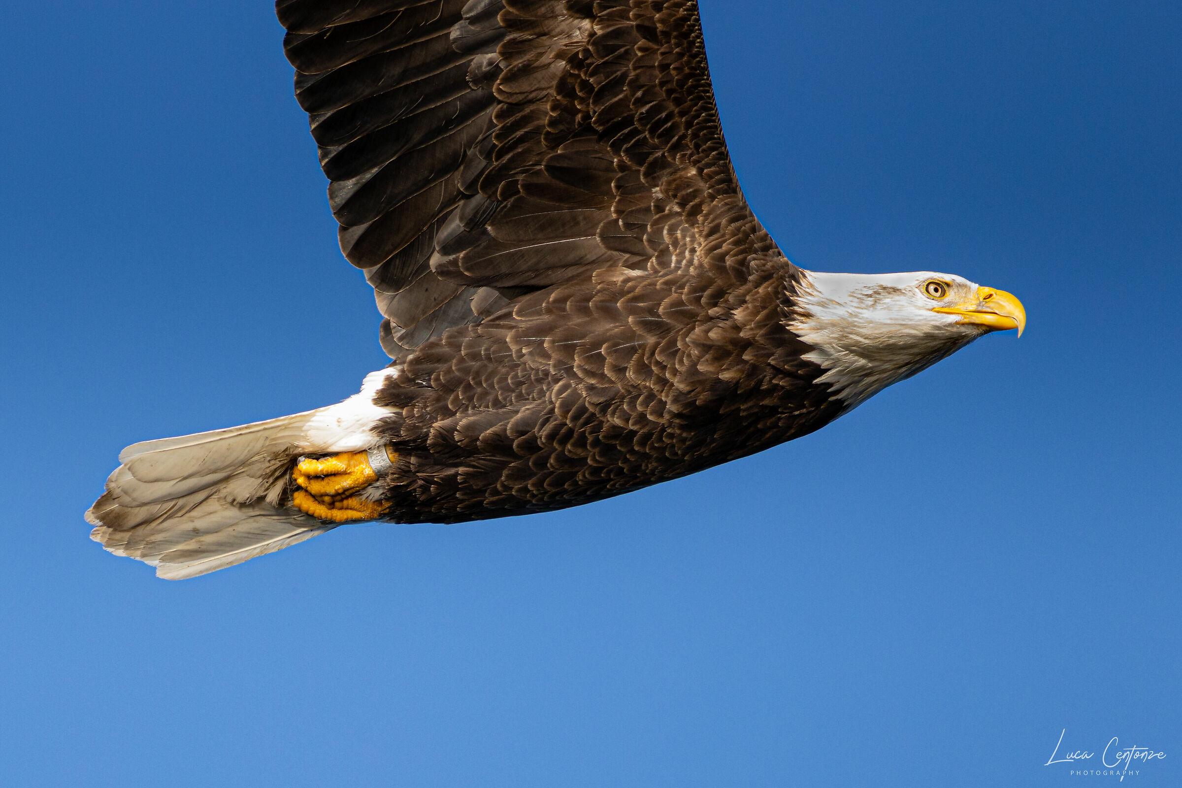 Bald Eagle in flight (Haliaeetus leucocephalus)...