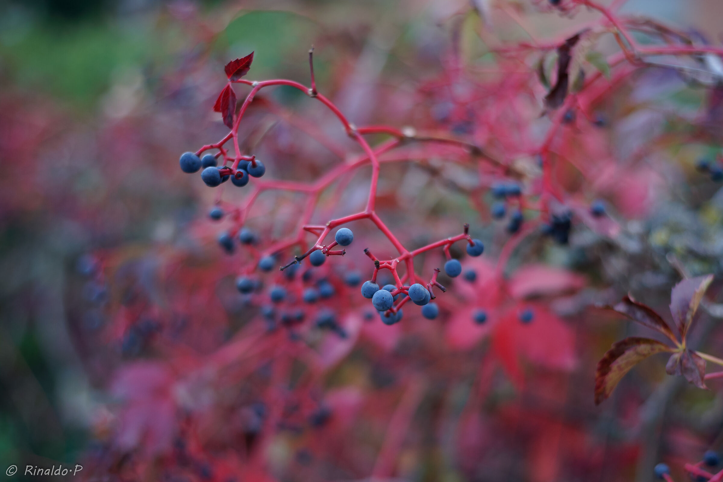 American Vine...