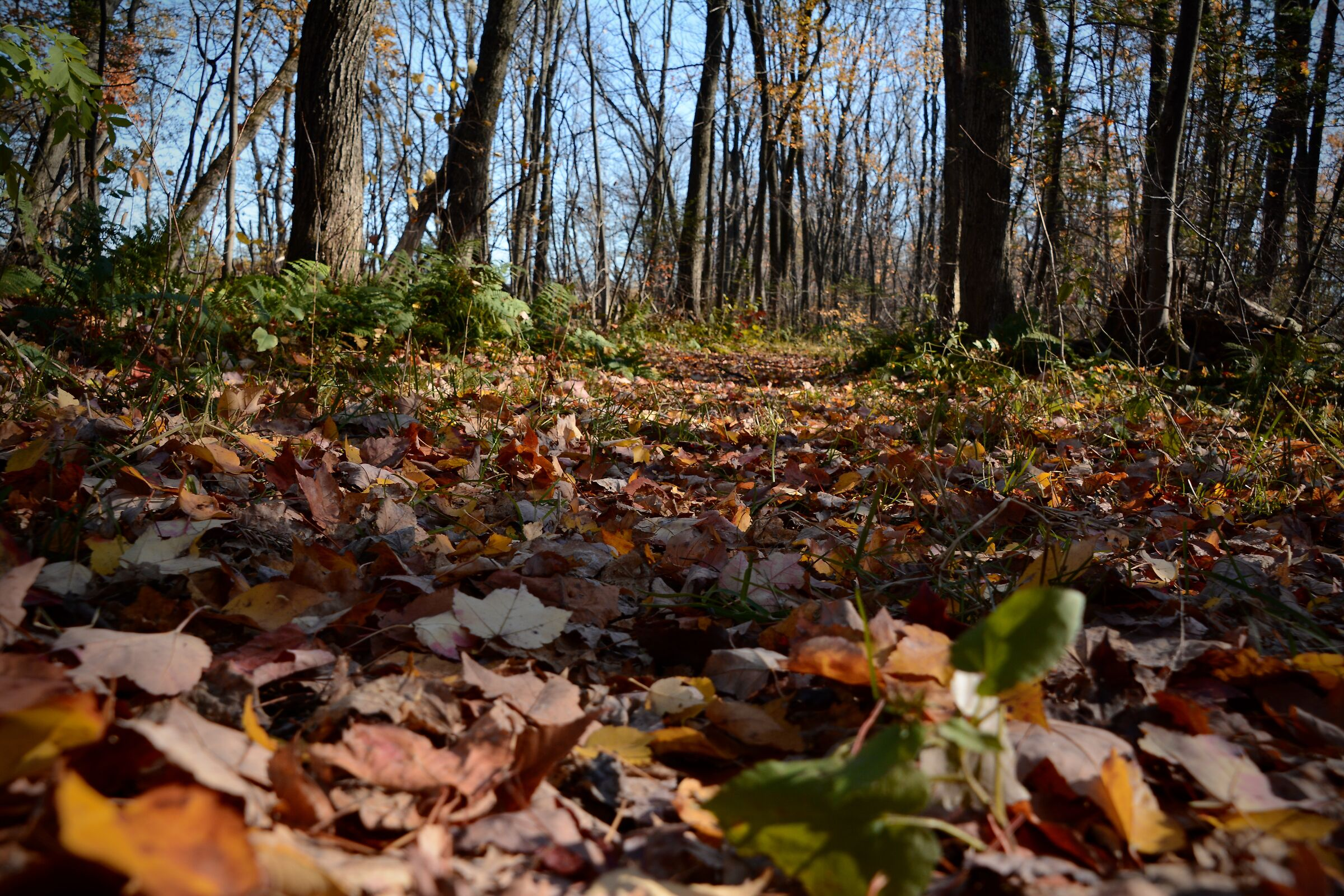 Carpet of leaves in the woods in autumn - Quebec City...