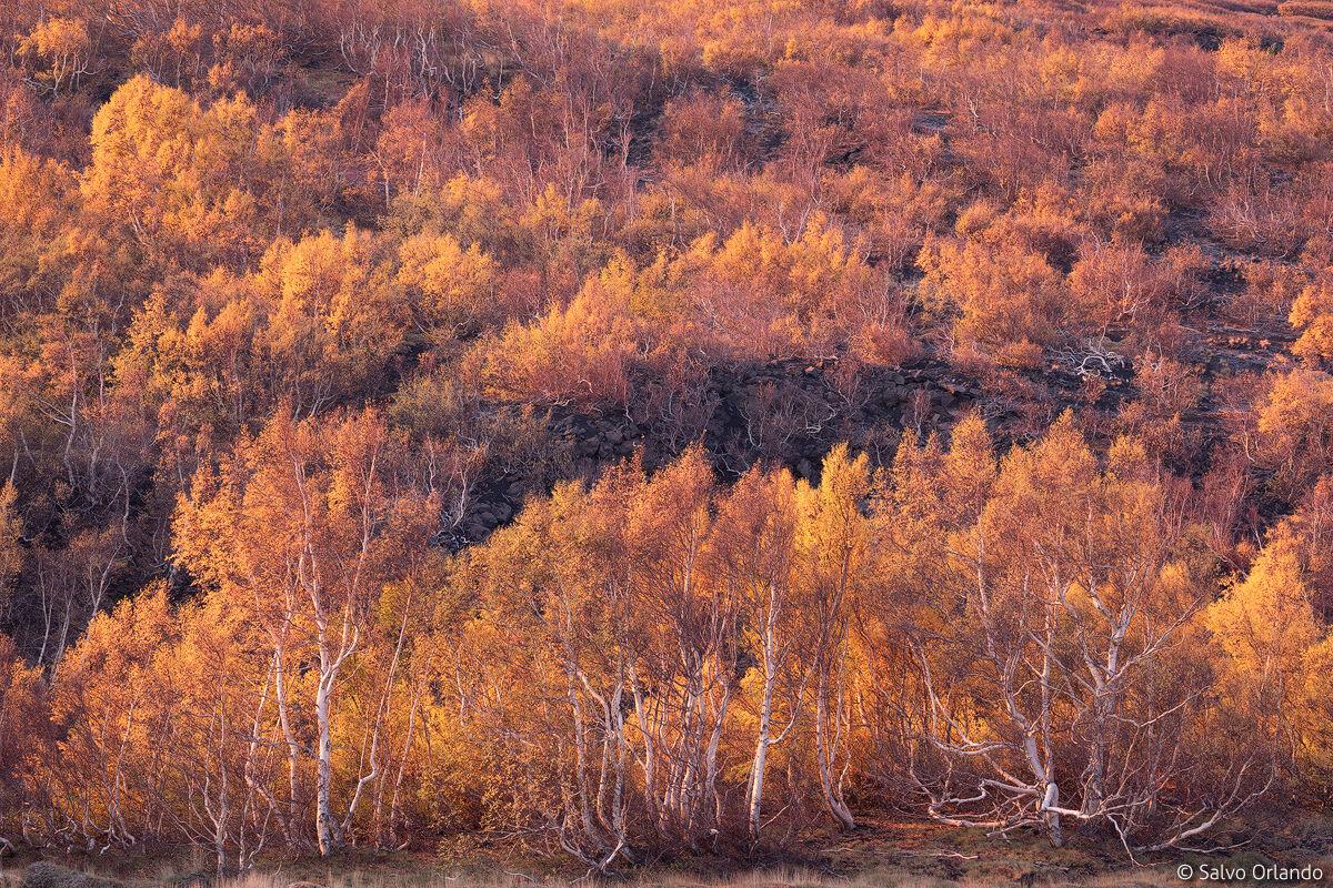 Gold lights over forest...