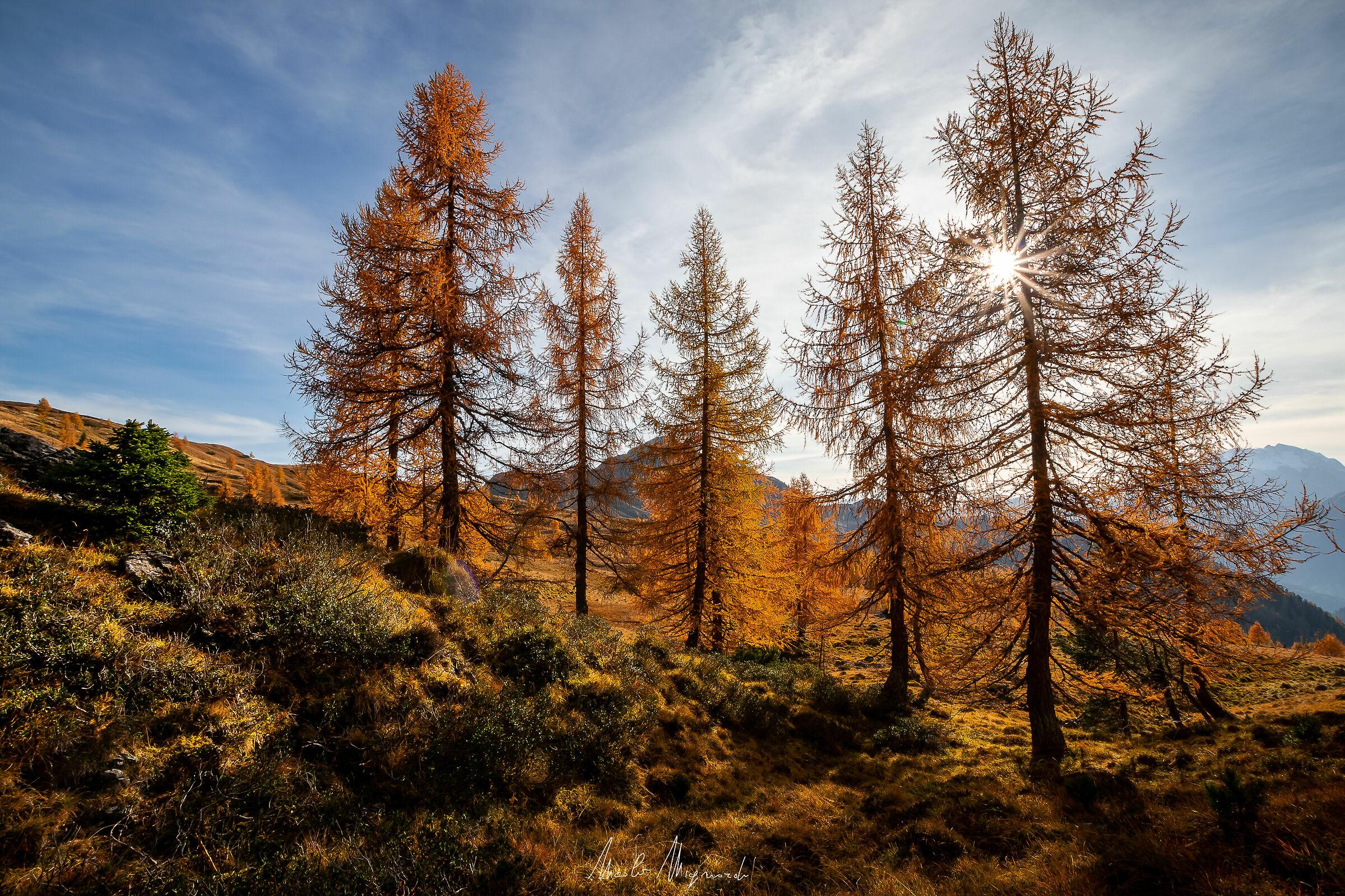 Boschetto di larici d'autunno...