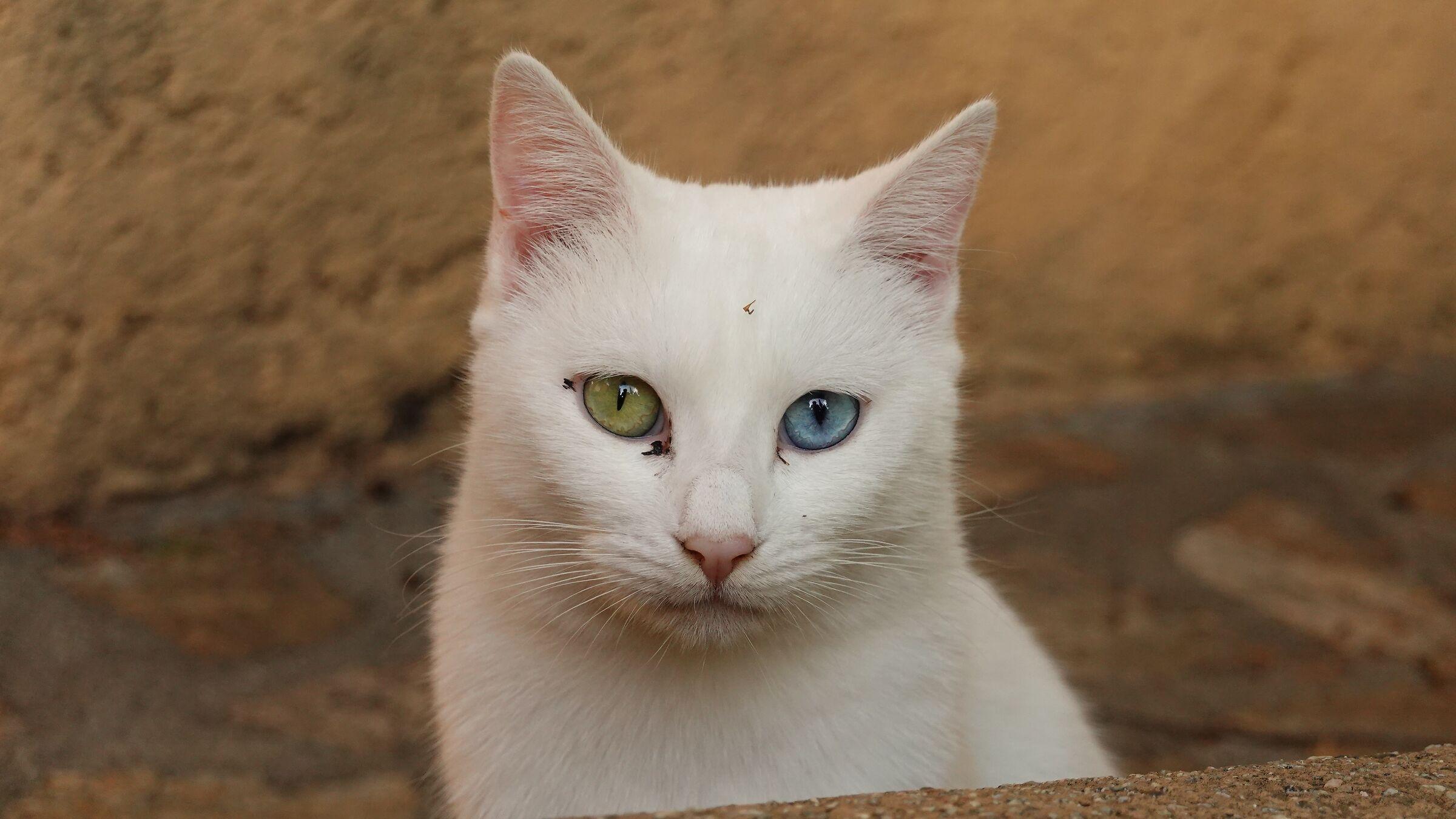 Gatto con eterocromia...