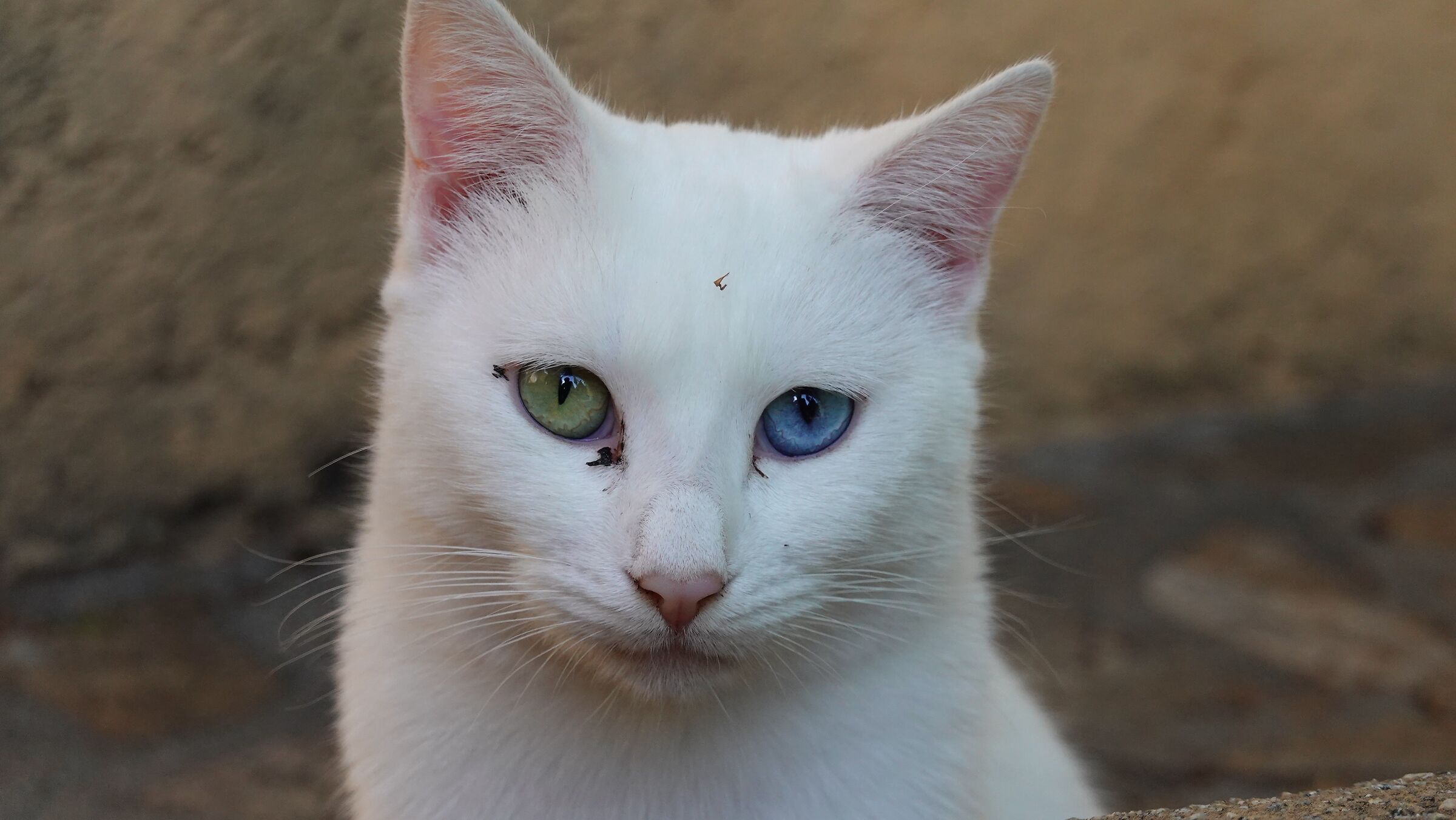 Cat with heterochromy 2...