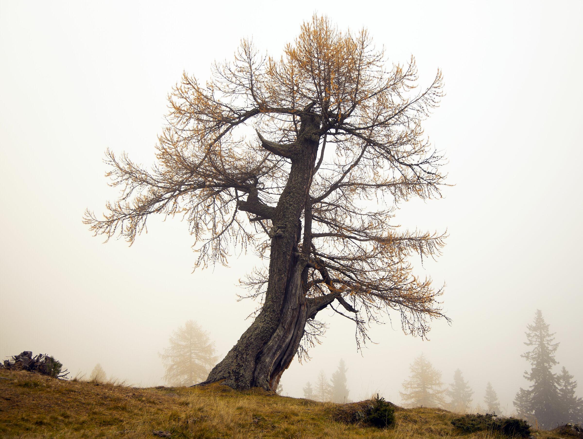 Pine stump...
