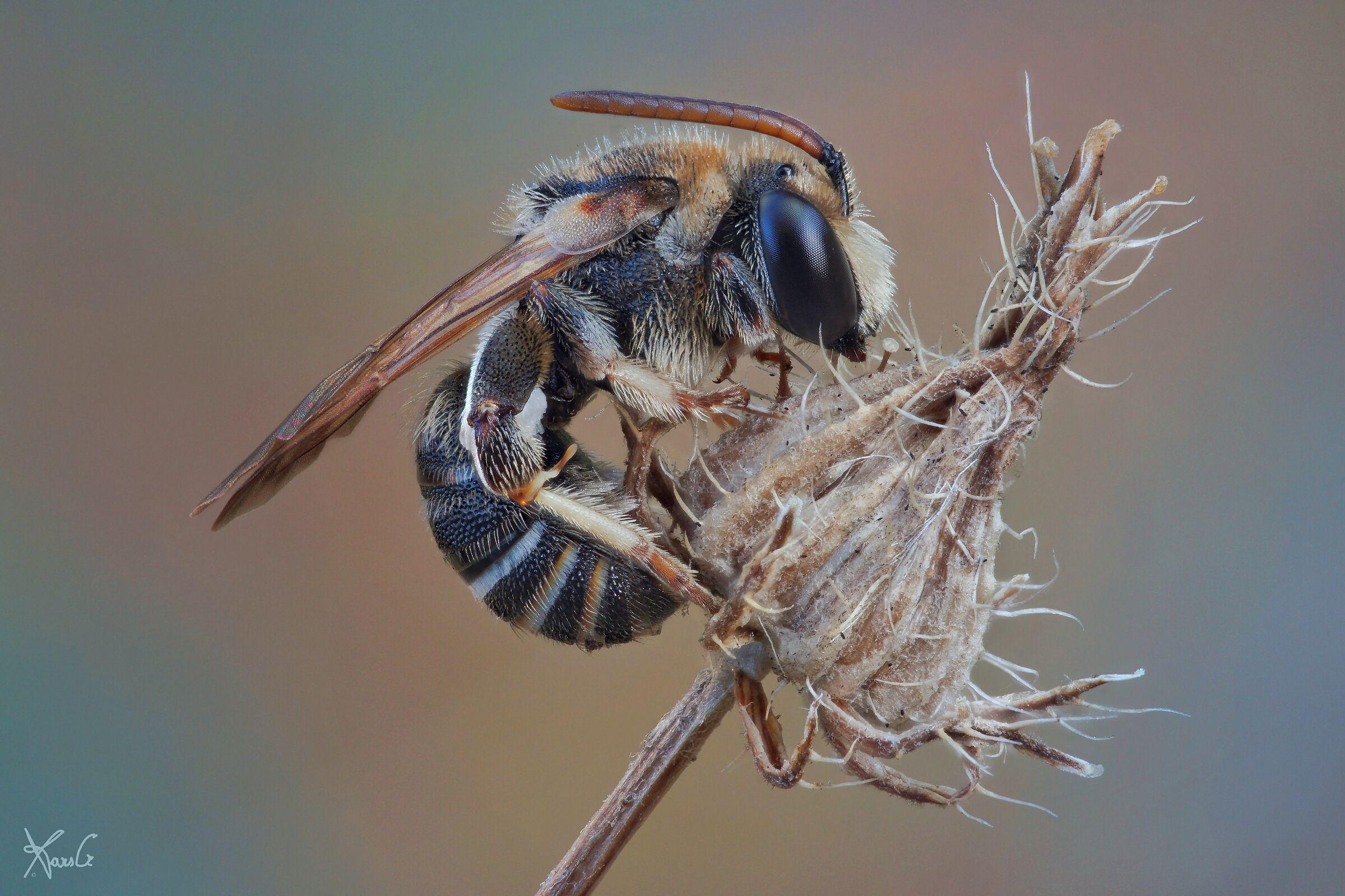 Halictidae, A ...