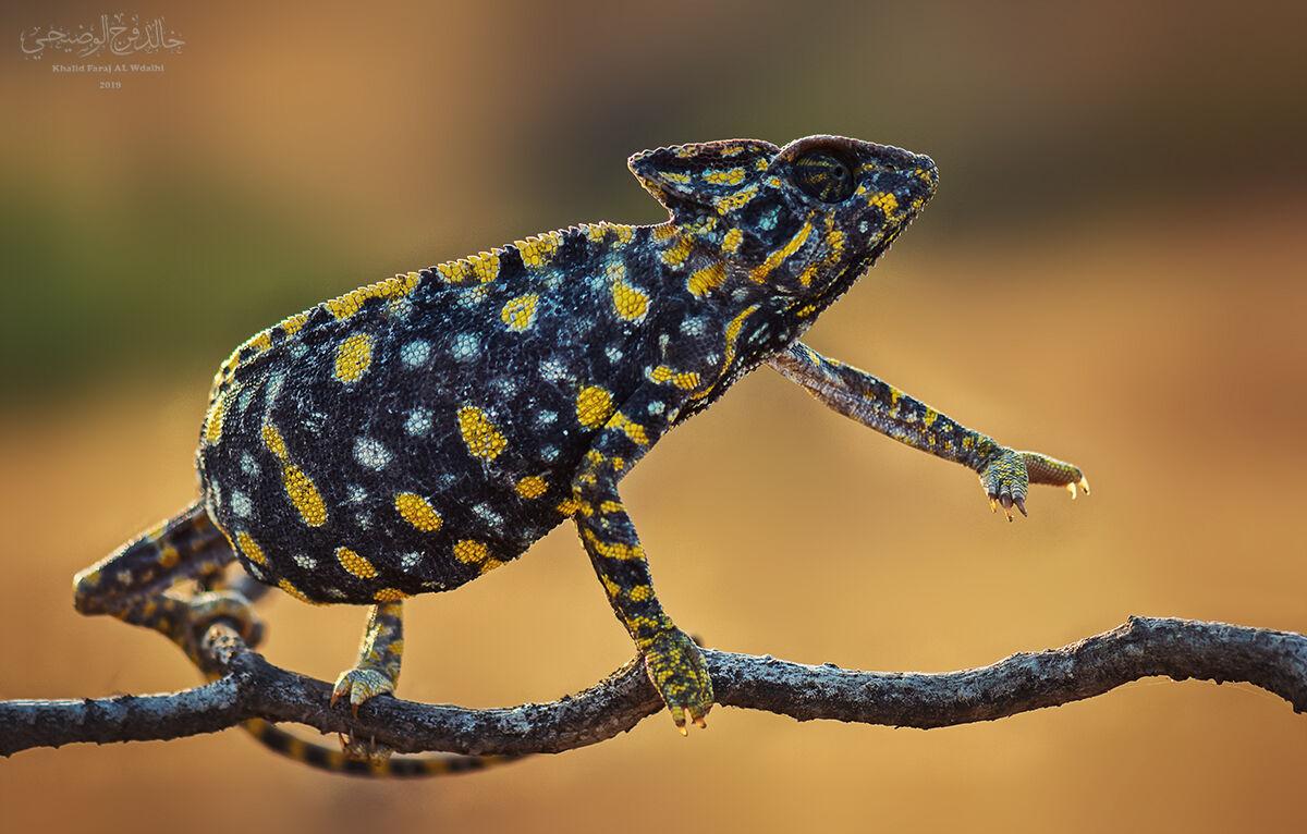 Arabian chameleon...