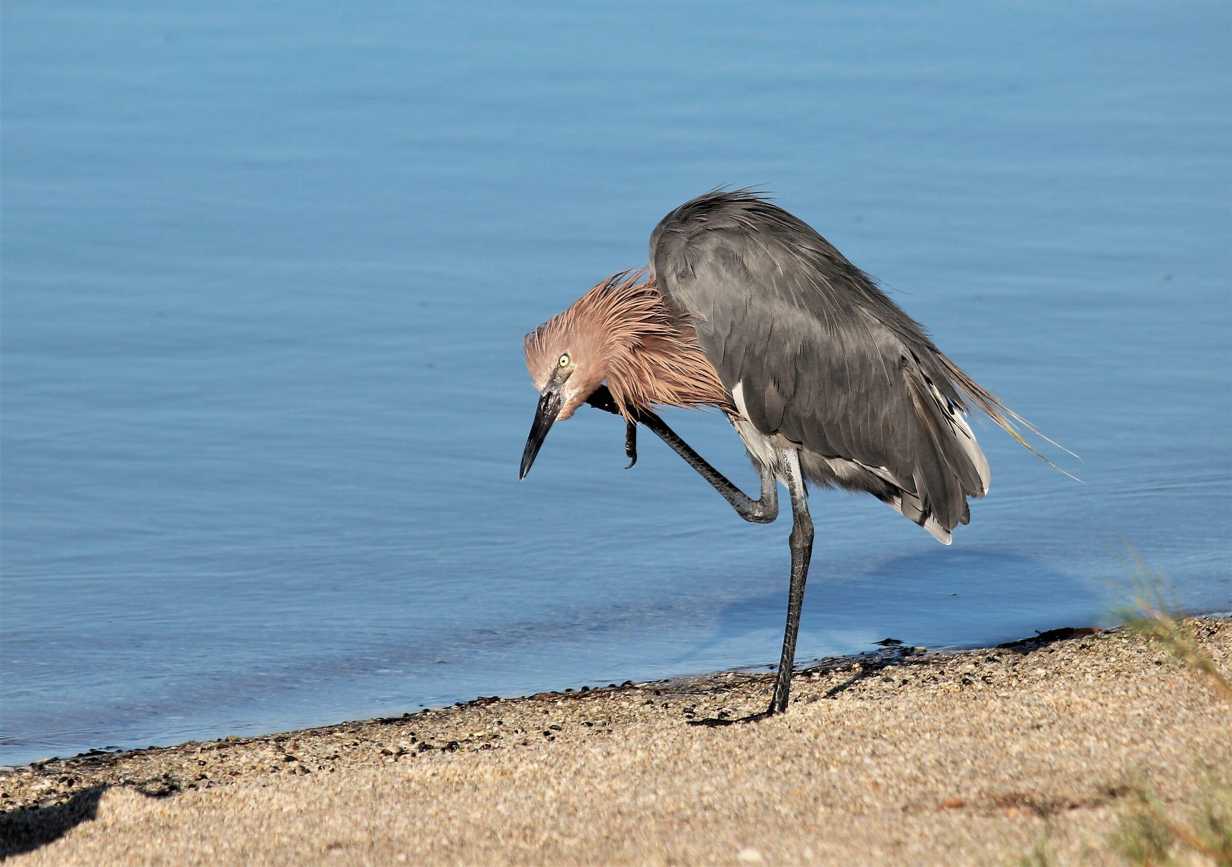 Scratch- Reddish Egret- Tampa Bay-gulf of Mexico ...