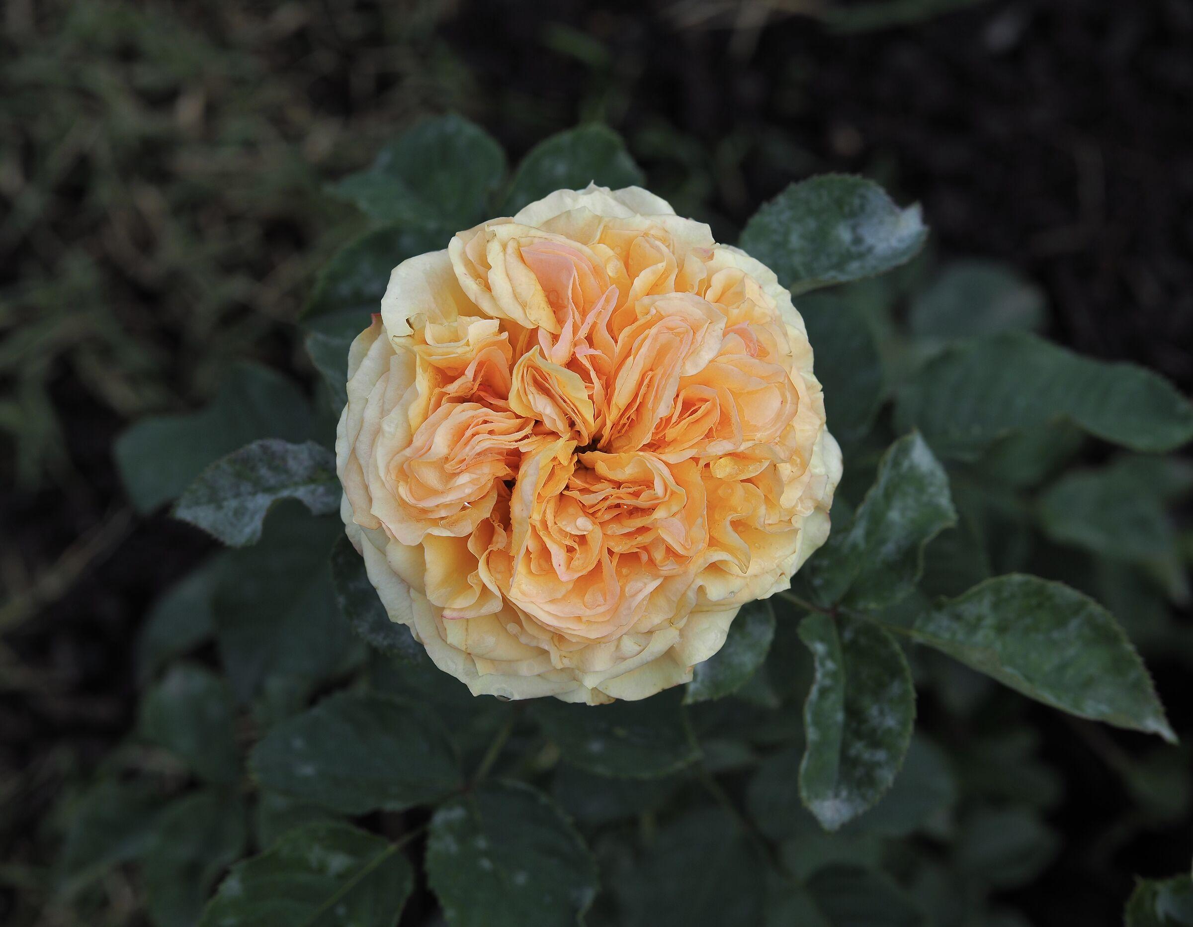 Rosa ibrida di Tea in autunno...