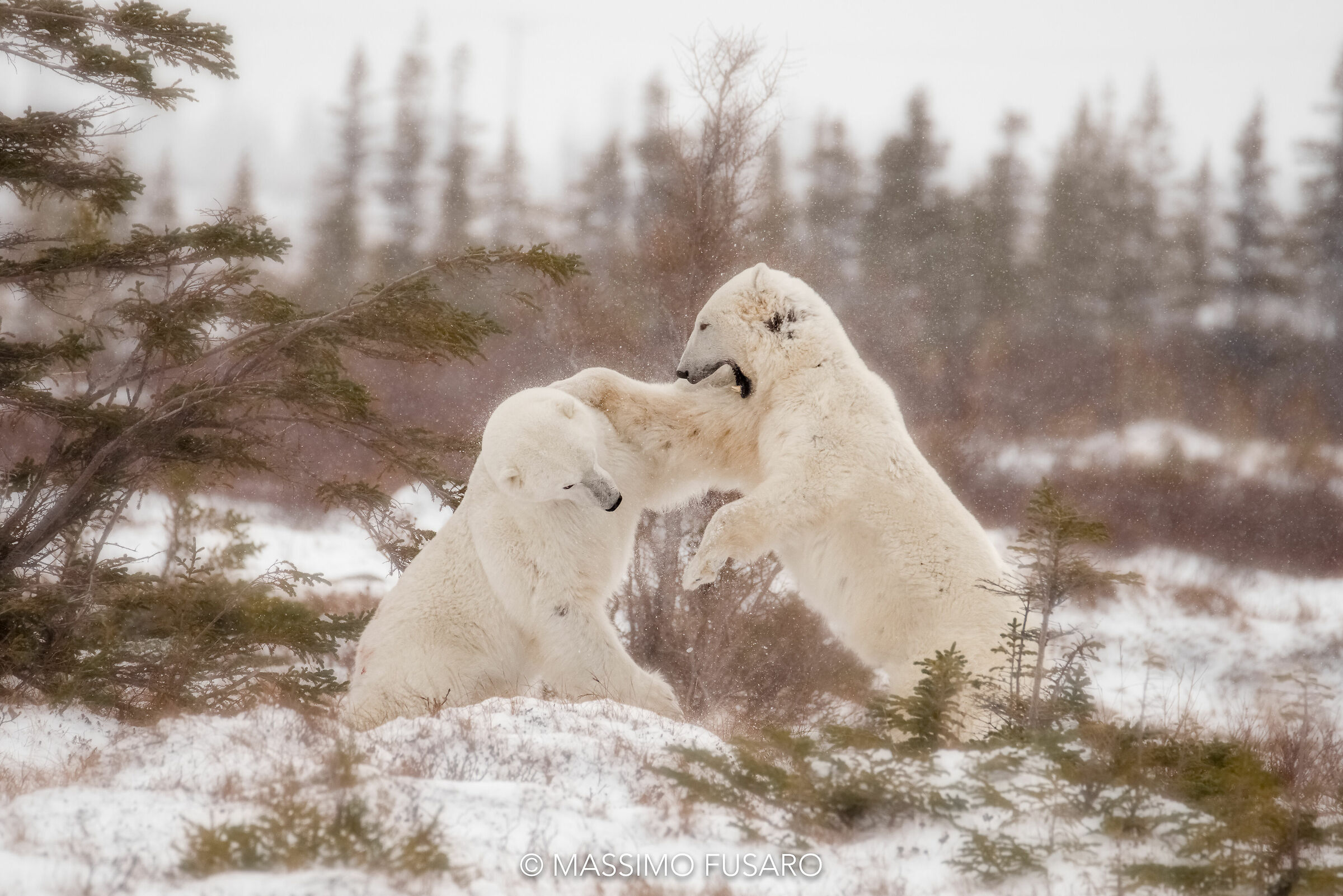 Bear Fight...