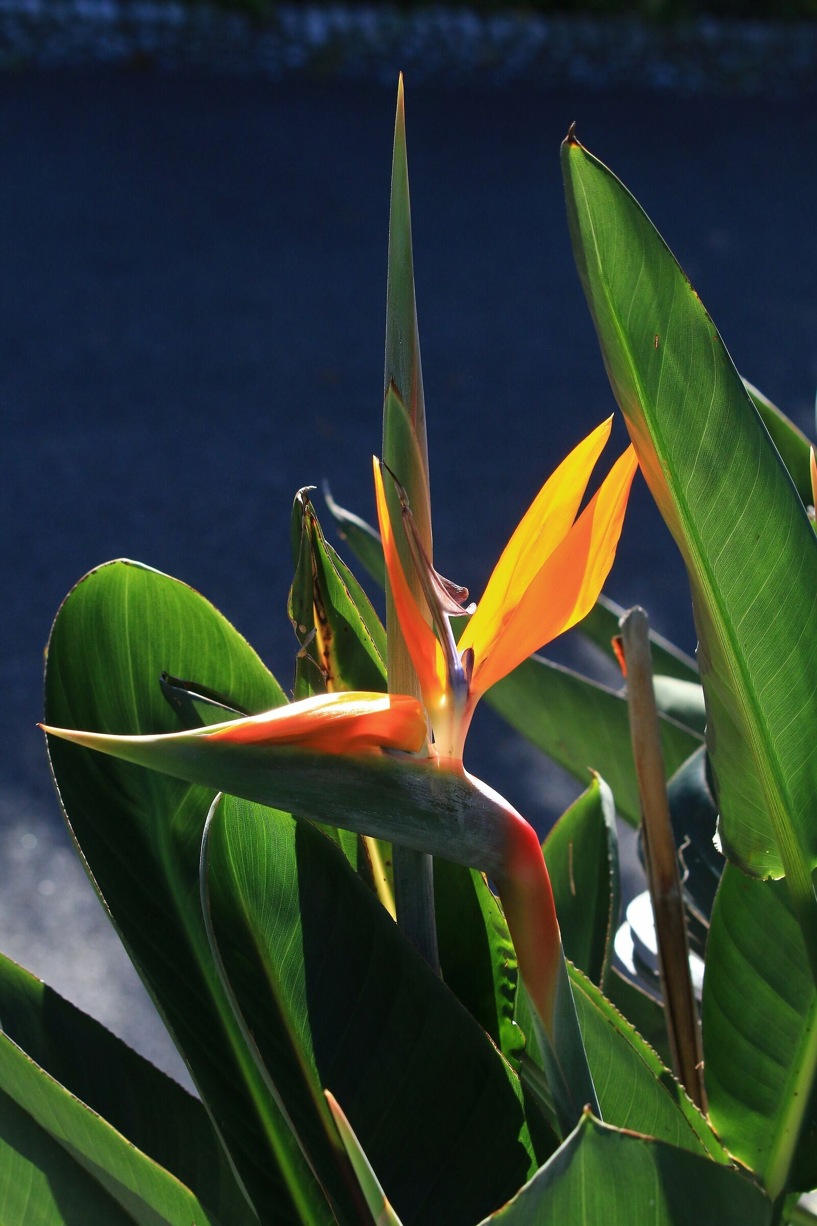 Queen Witch (Bird of Paradise)...