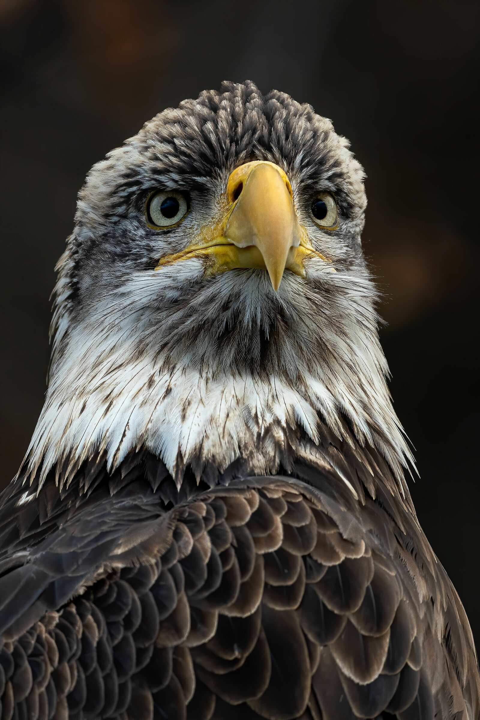 Bald eagle portrait...