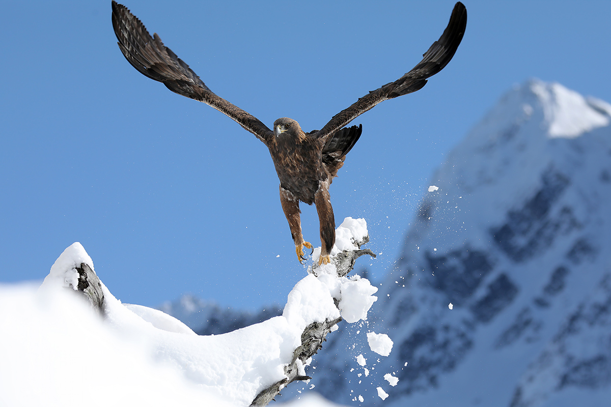 Golden eagle - Italian Alps-...