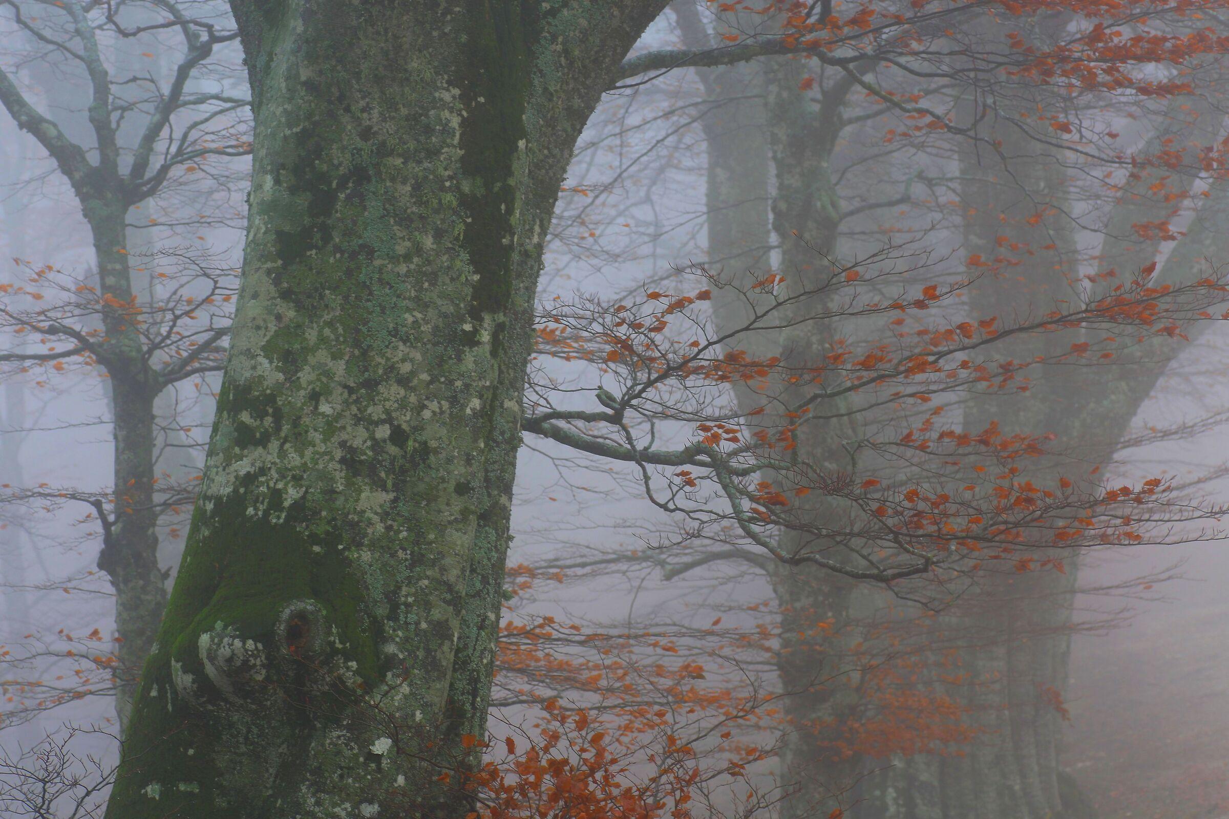 beech trees in the fog...