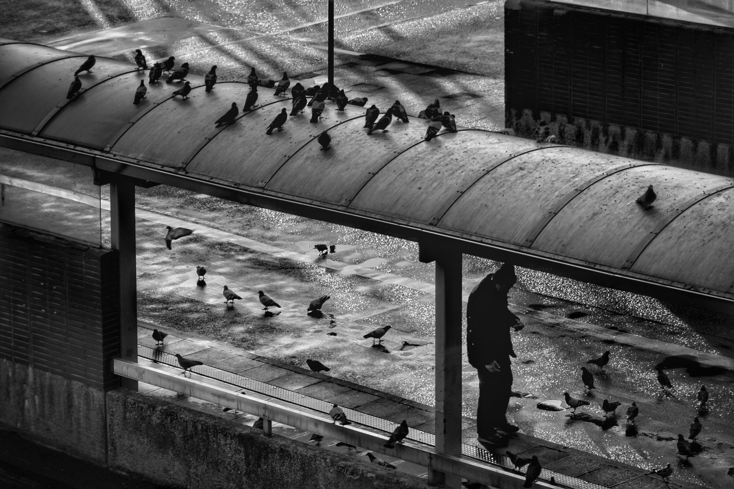 Pigeons...