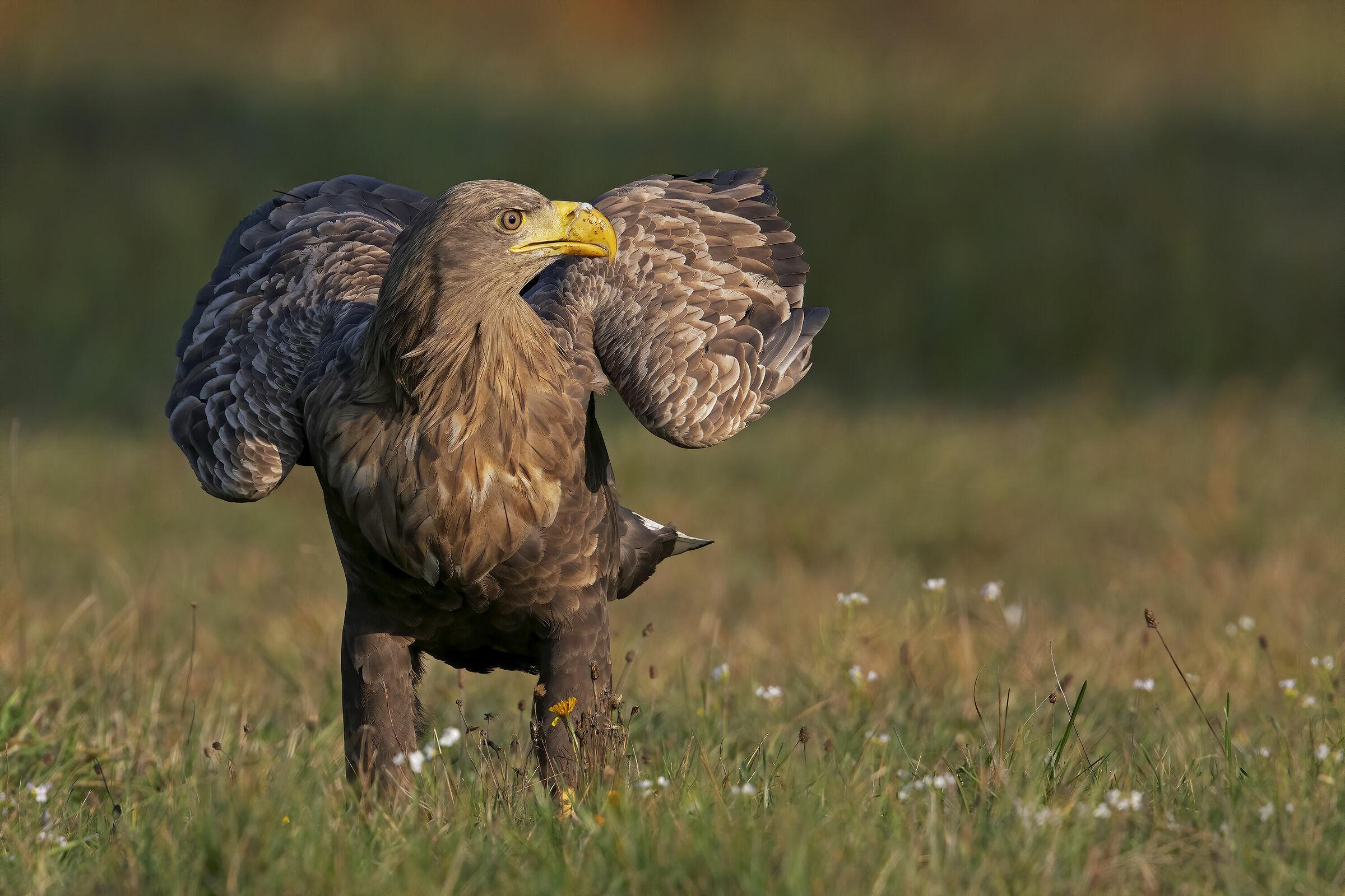 The Look of the Sea Eagle...
