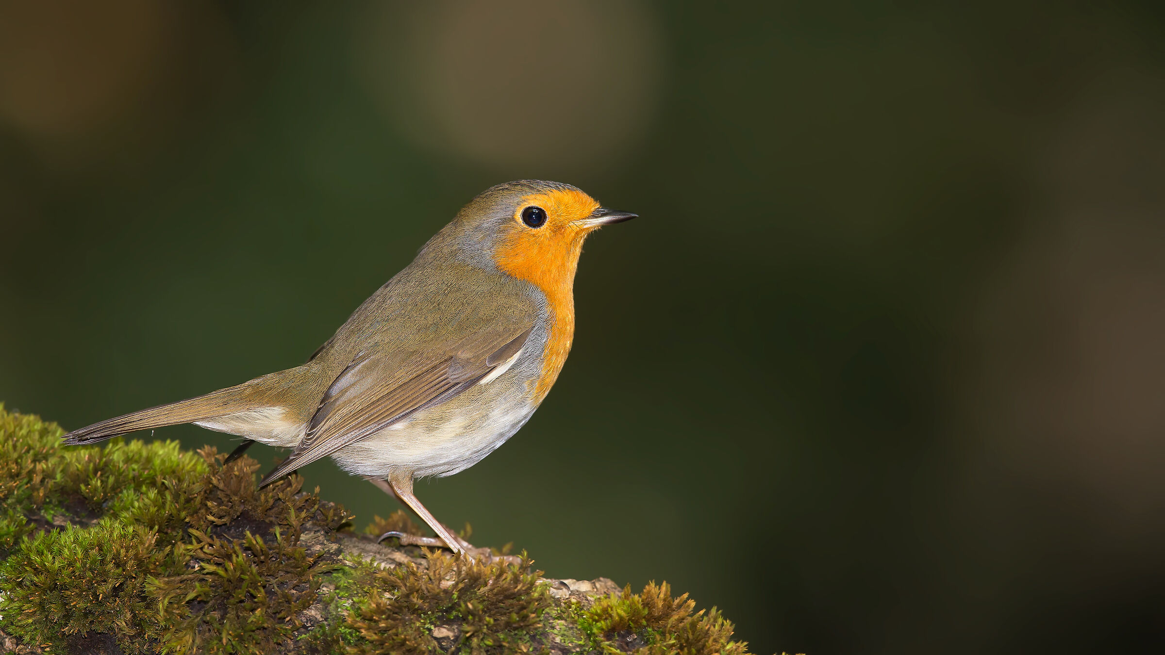 European Robin / Erithacus rubecula...