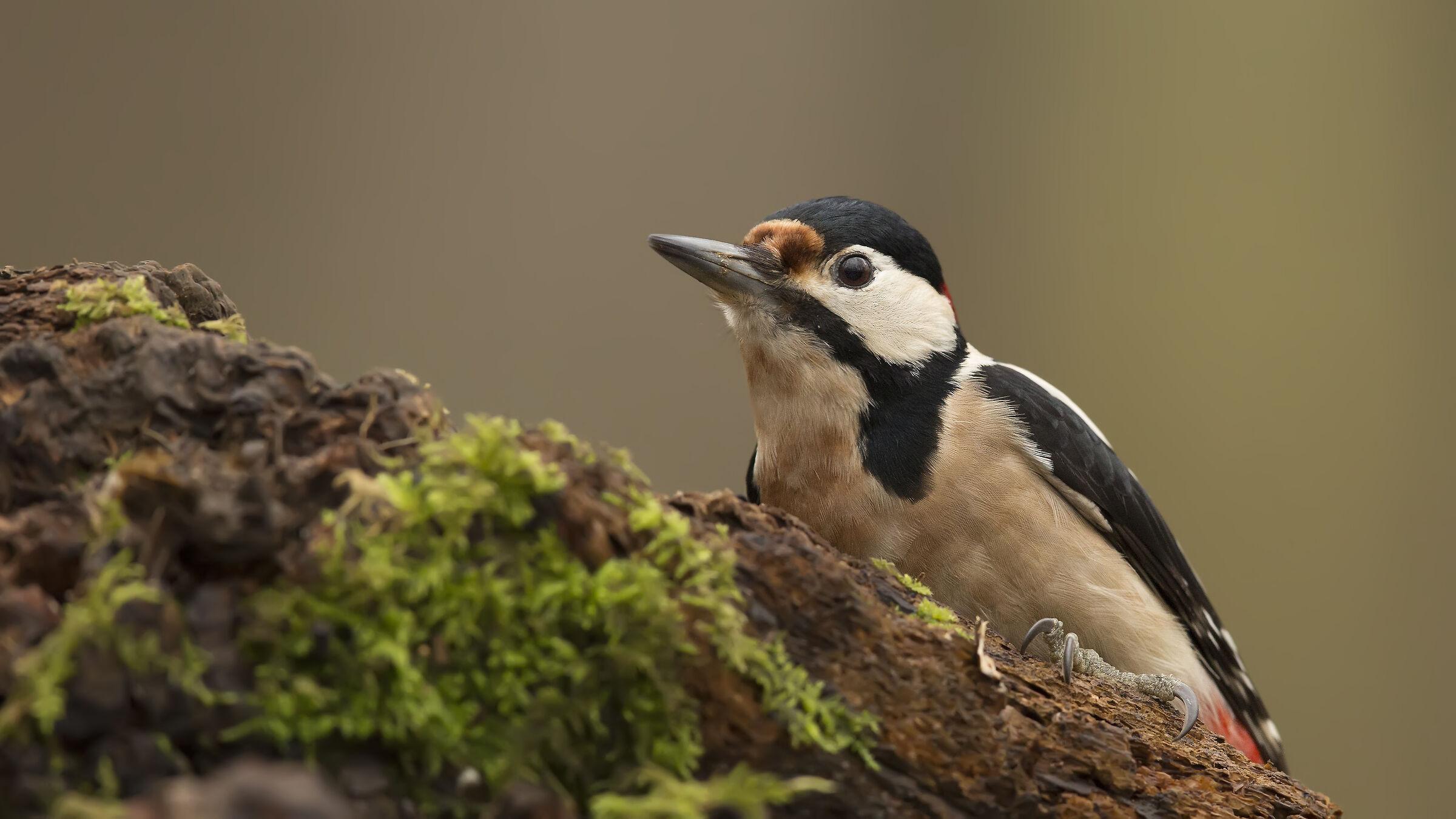 Syrian Woodpecker / Dendrocopos syriacus...