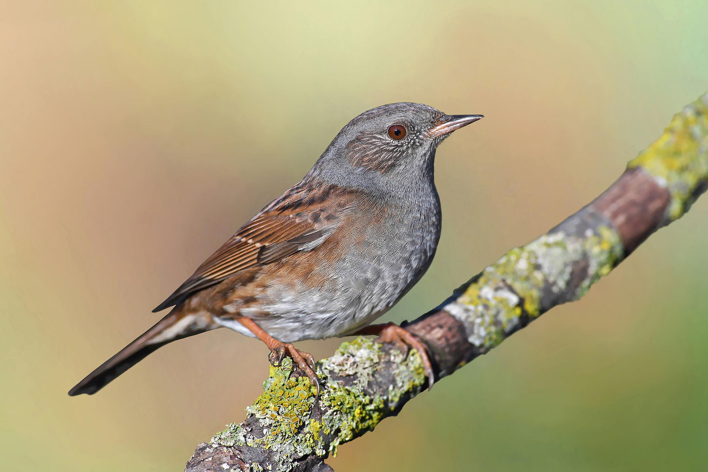 Feather Stories 8 (Sparrow slap)...