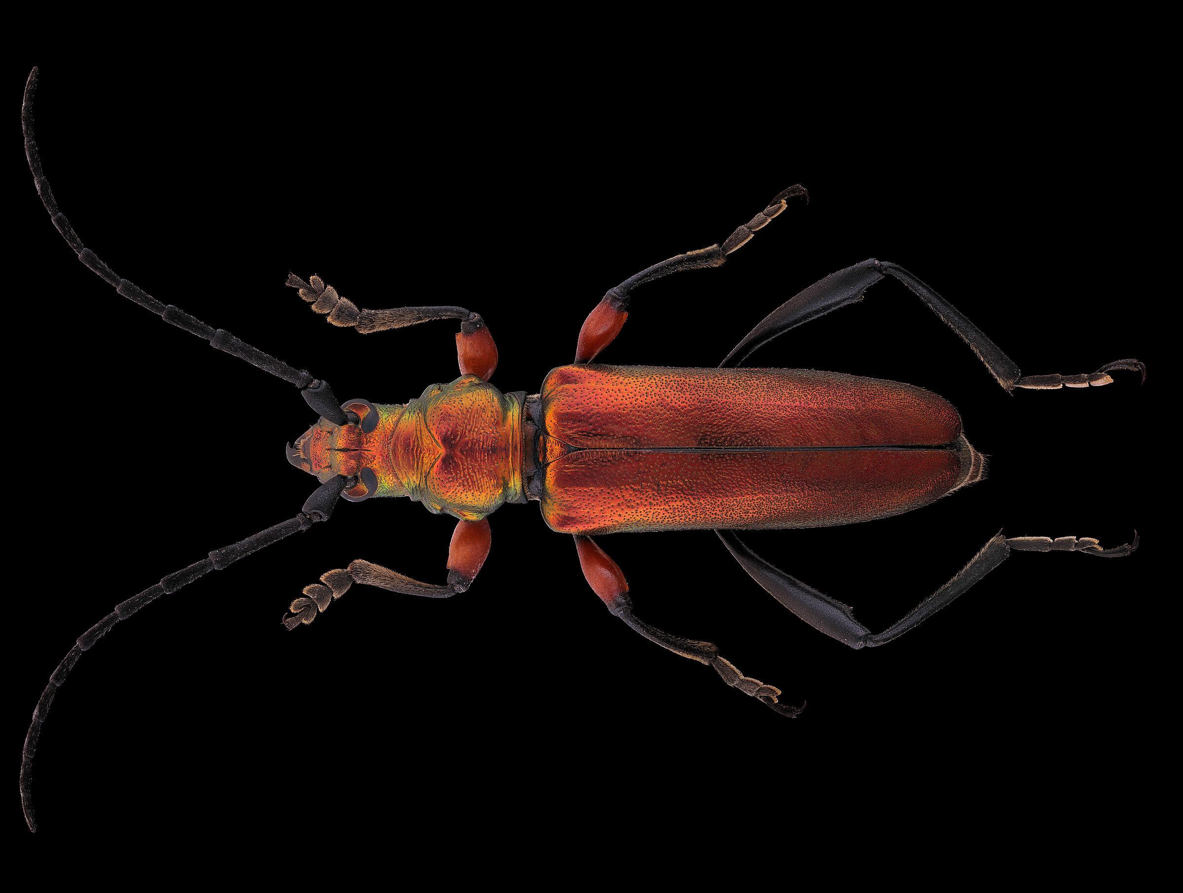 Synaptola nitidipennis...